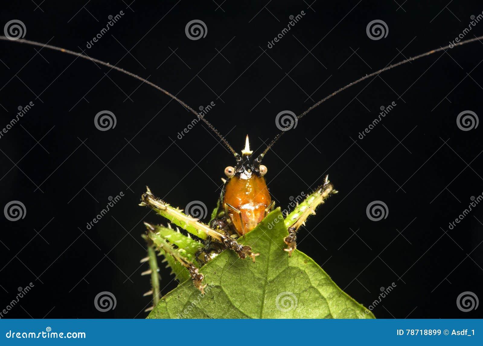 Diablo espinoso Katydid