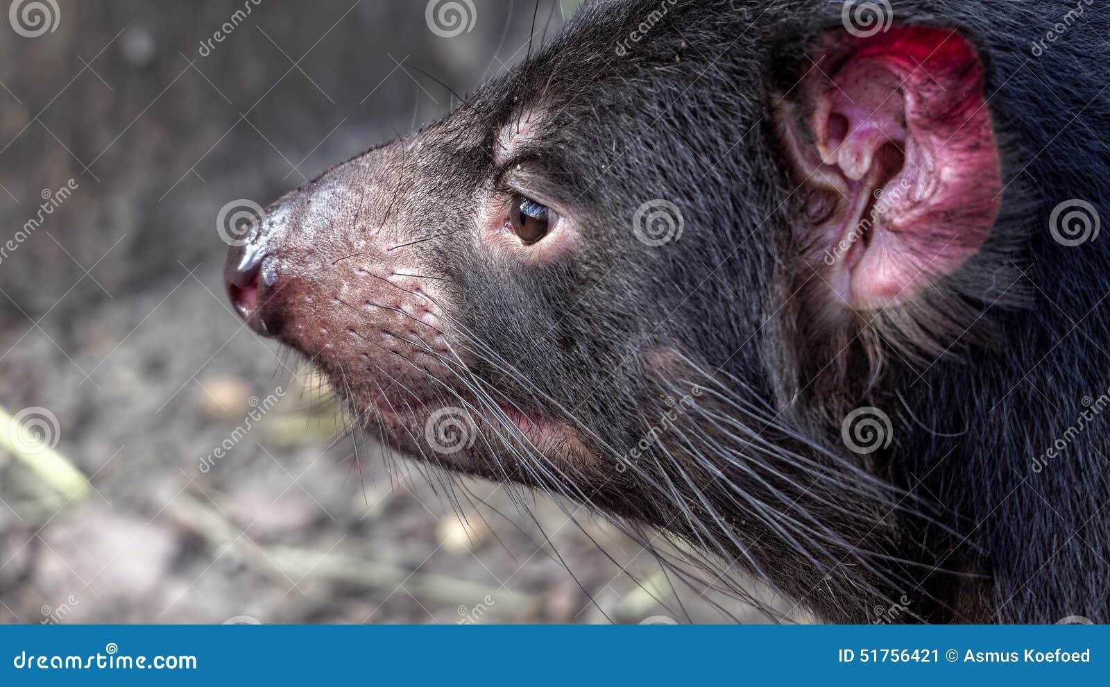 Diabo tasmaniano