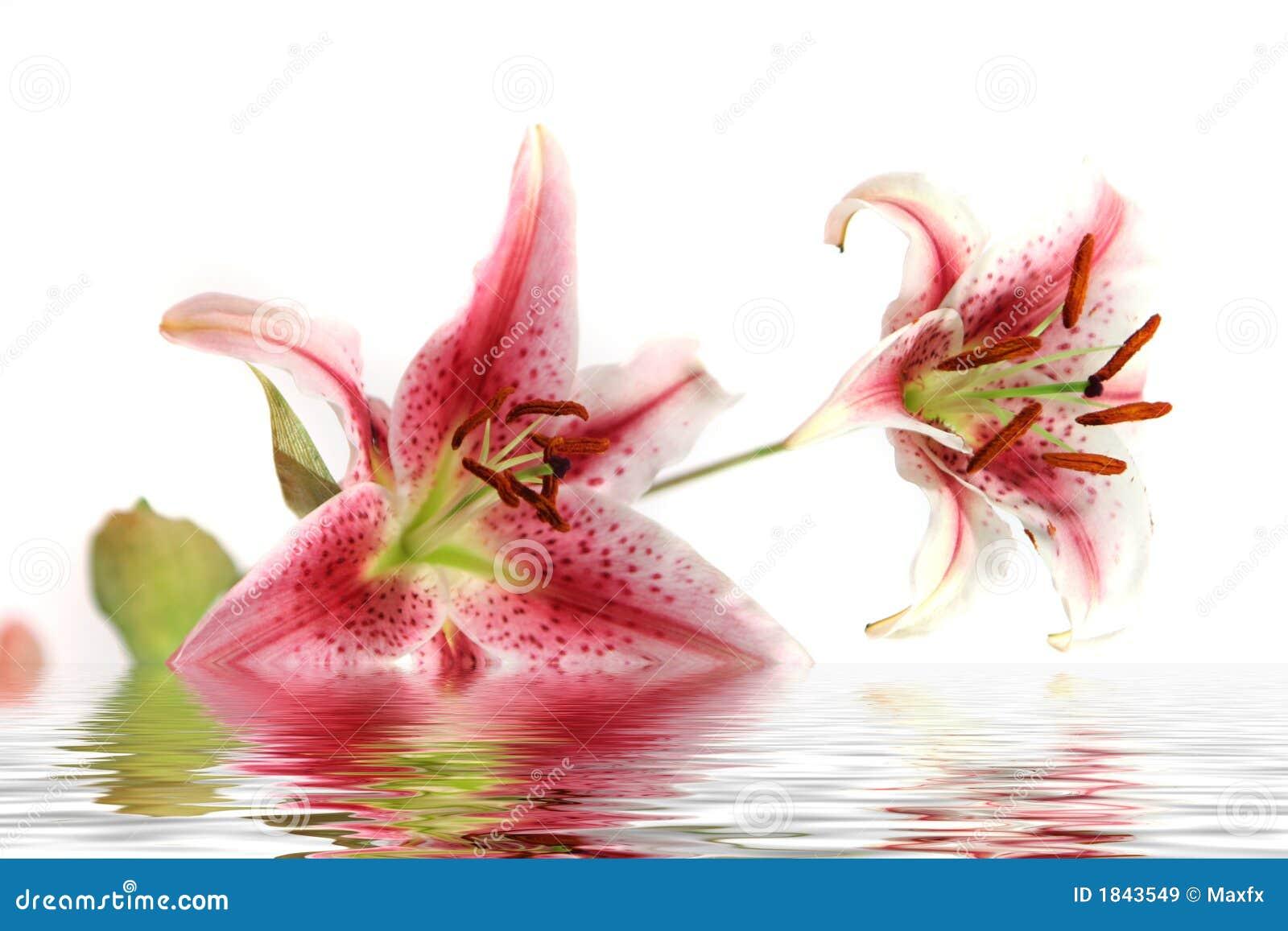 Diafragma hermoso - flor del lirio con la reflexión del agua aislada en el fondo blanco