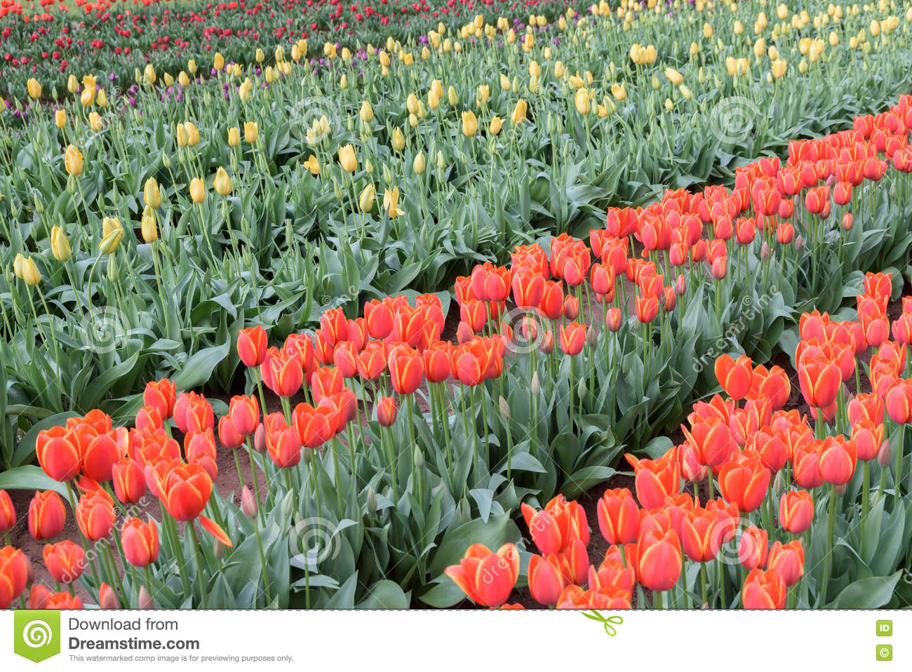 Diagonal rows of different coloured tulips red, yellow, purple