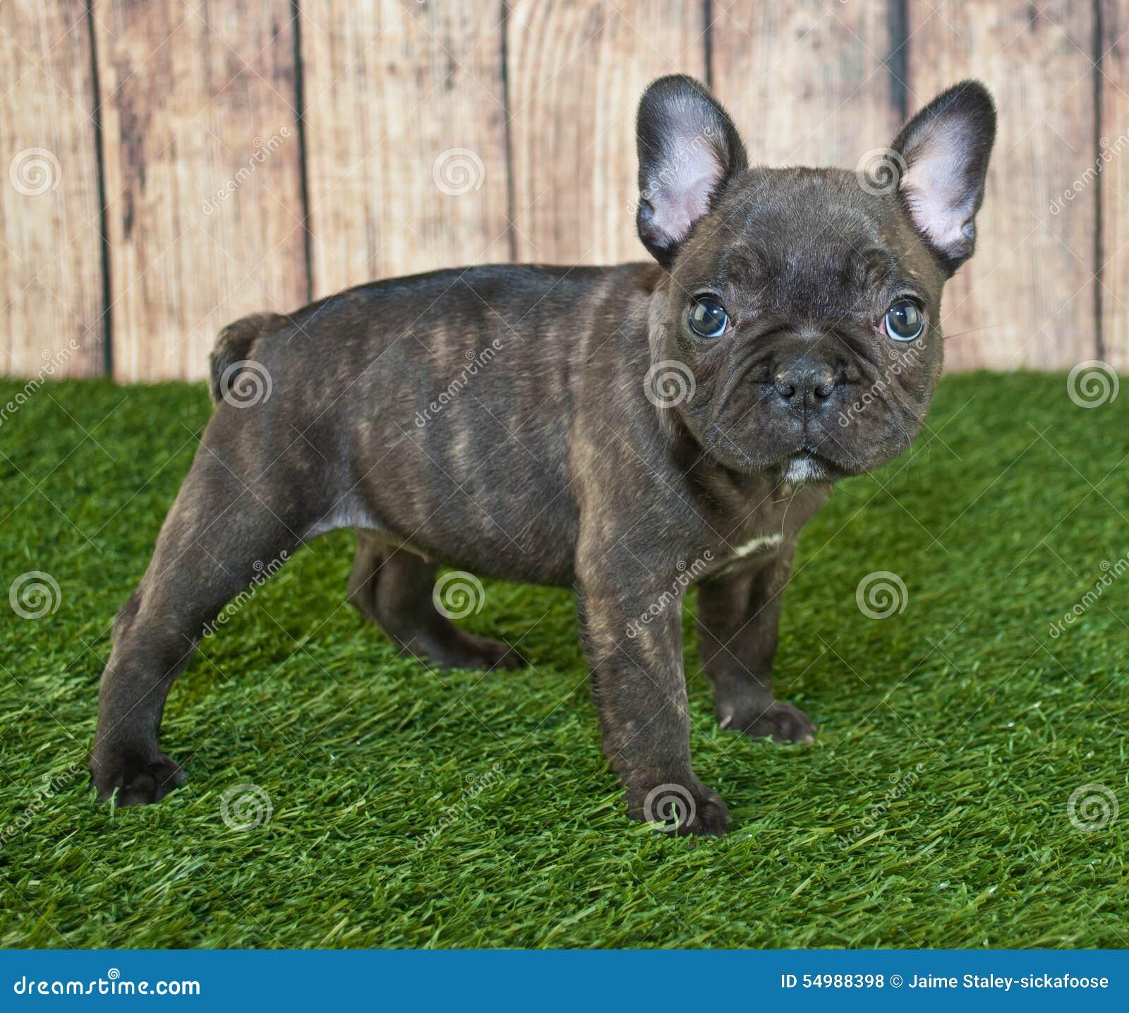 Diagonalt franskt huvud för bulldogg som ser den gammala valpsidan som sitter sex till veckor