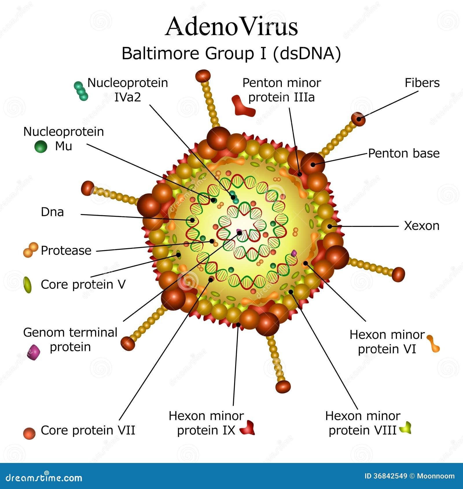 Coronavirus Replication Animation: Diagram Of Adeno Virus Particle Structure Royalty Free
