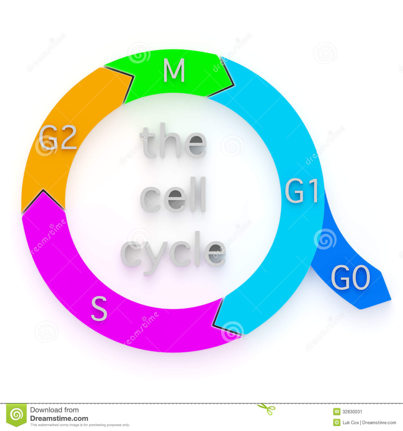 Diagram of the cell cycle stock illustration image of cells diagram of the cell cycle ccuart Image collections