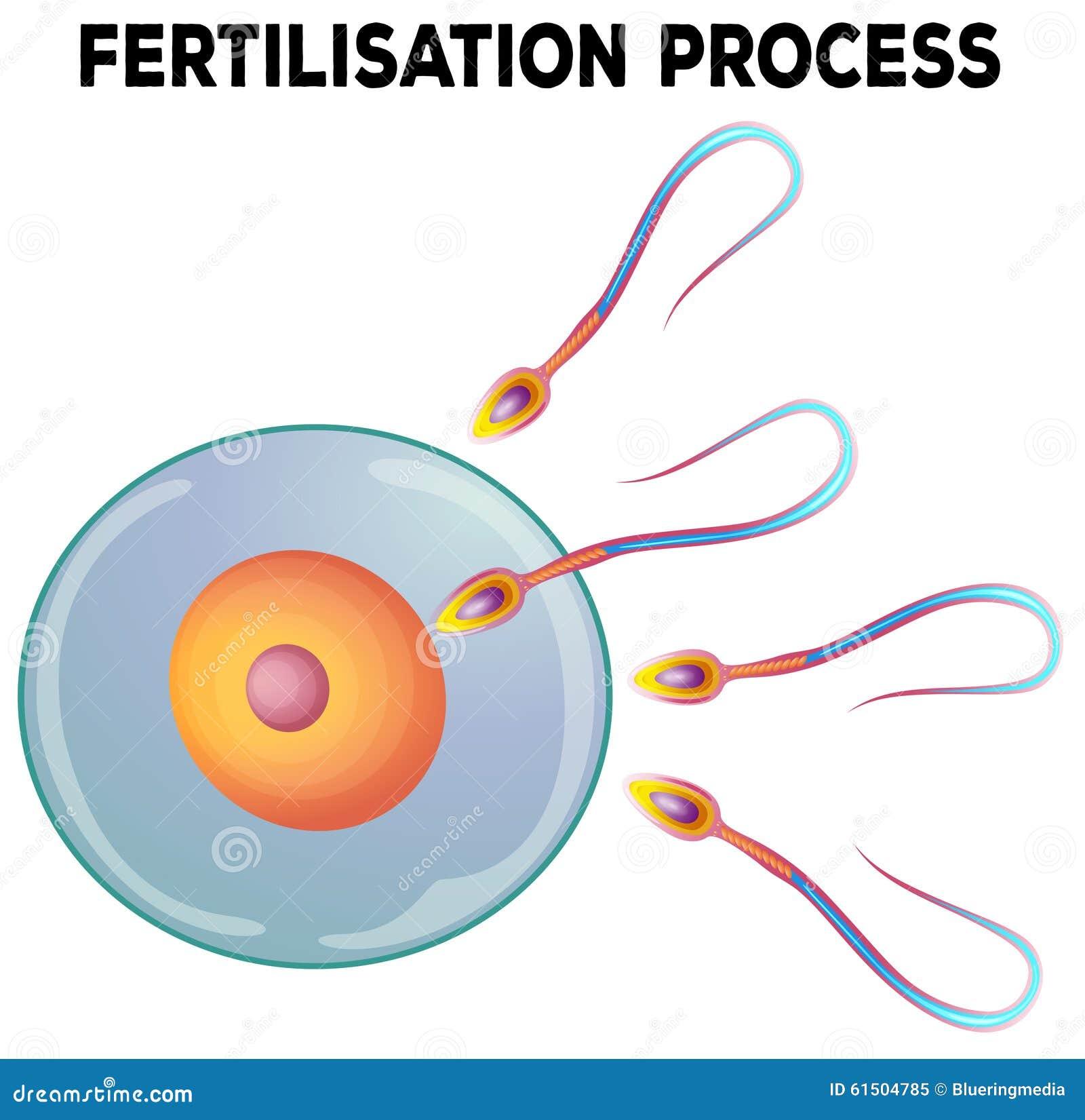 Diagram of fertilisation process stock vector illustration of cell diagram of fertilisation process ccuart Gallery