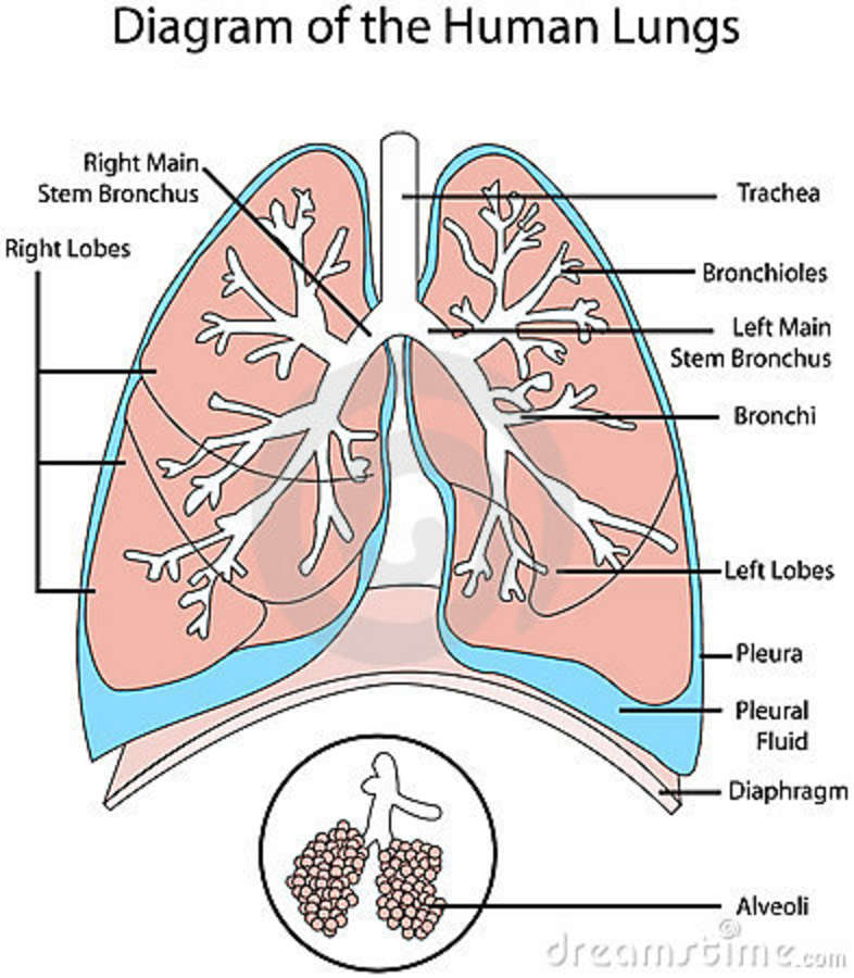 Human Lungs Diagram Diagram Human Lungs 15858999 Jpg