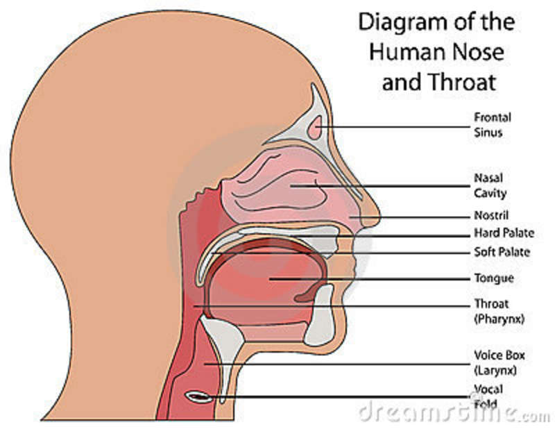diagram of the human nose and throat stock vector. Black Bedroom Furniture Sets. Home Design Ideas
