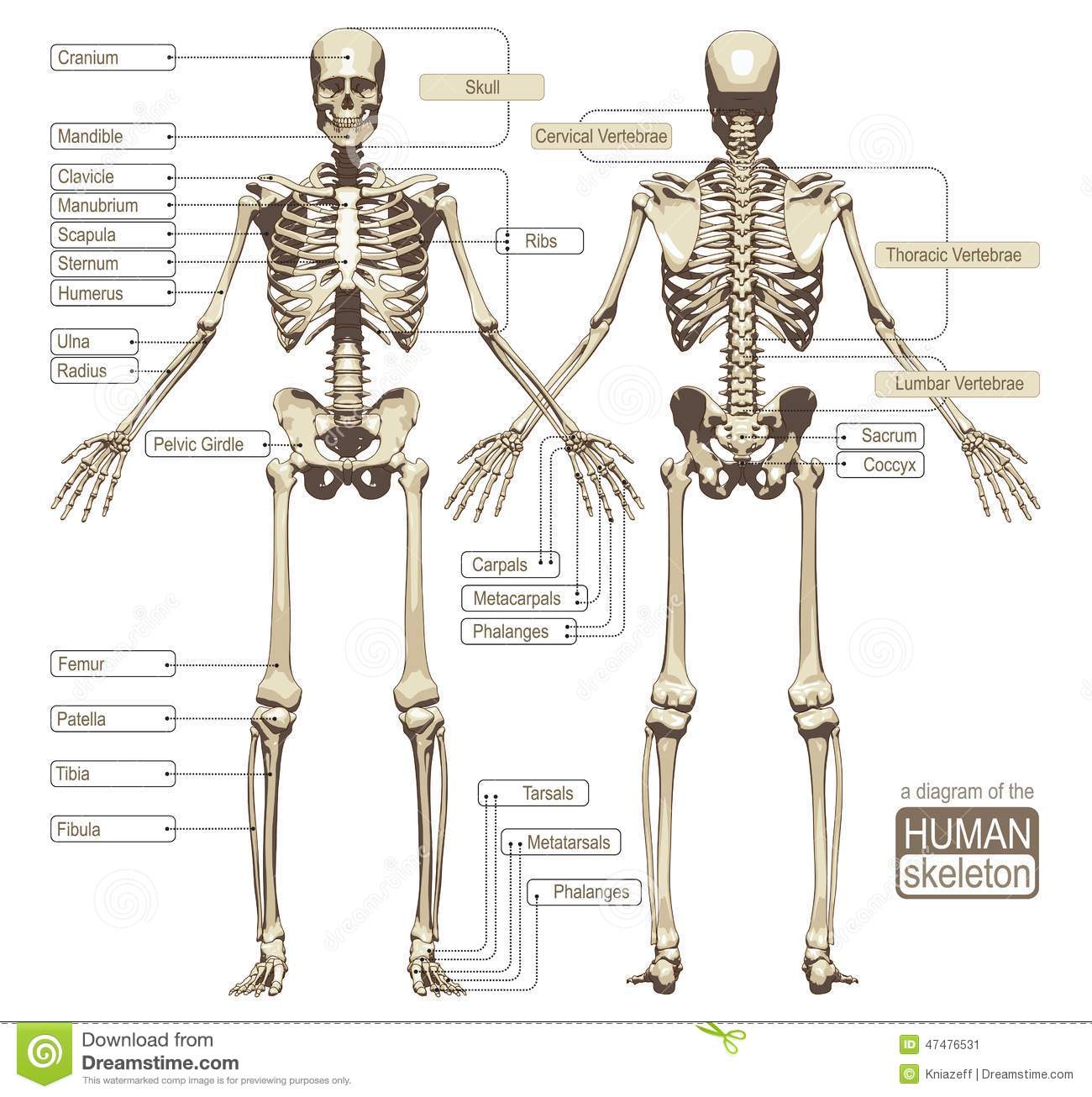 A Diagram Of The Human Skeleton Stock Vector Image 47476531