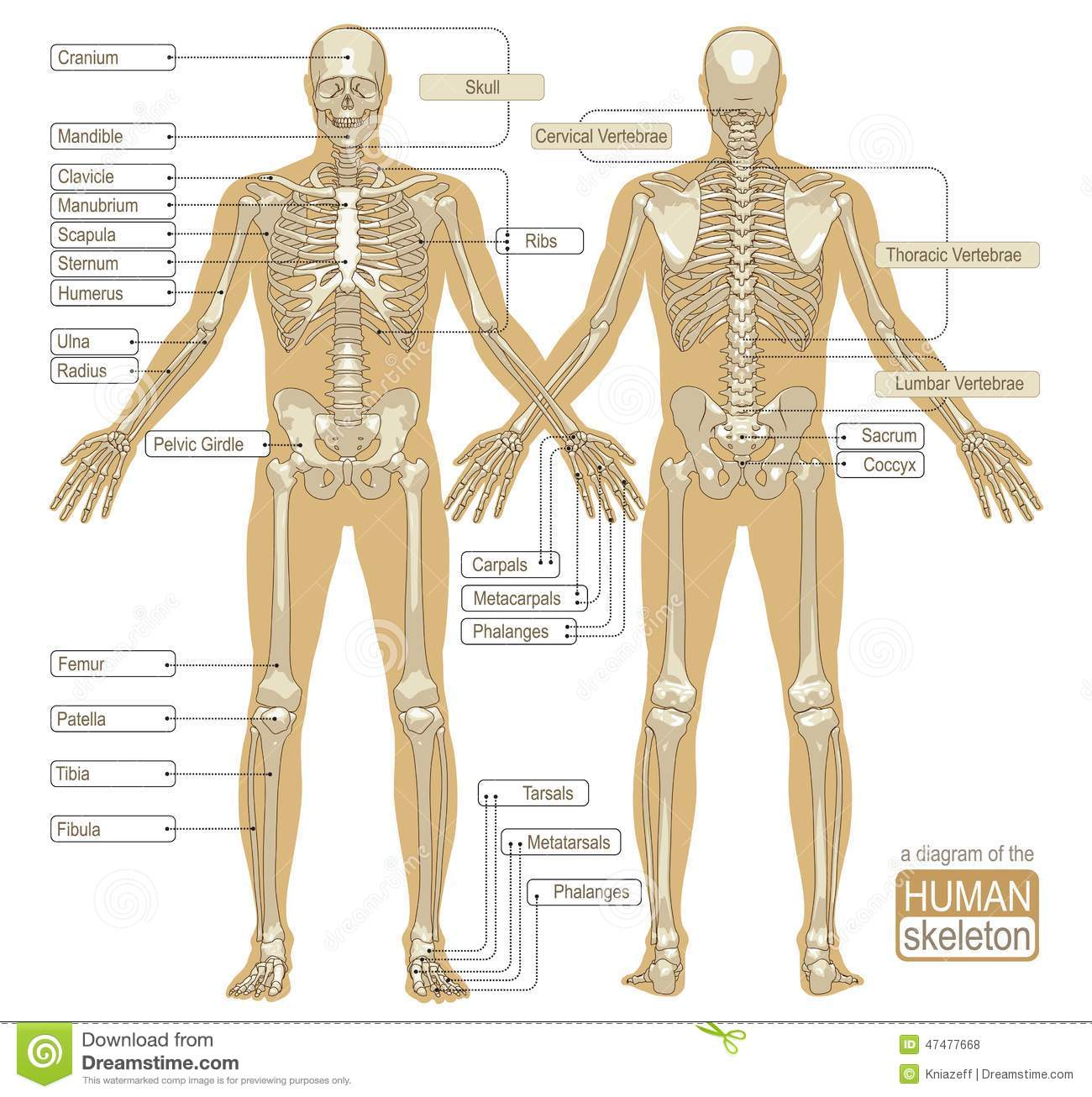 A diagram of the human skeleton stock vector illustration of download a diagram of the human skeleton stock vector illustration of learning pelvis ccuart Choice Image