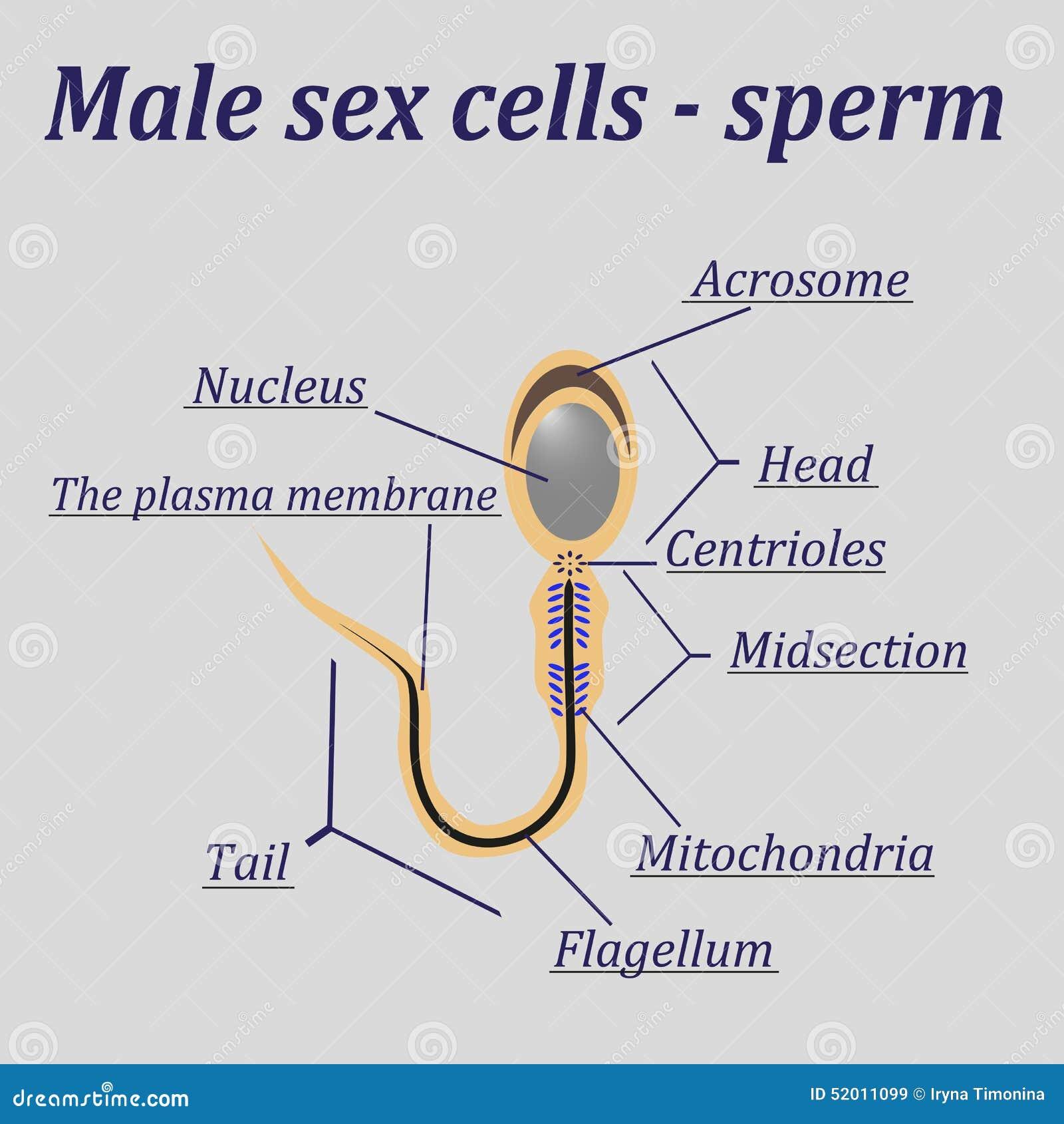 How a Man Produces 1,500 Sperm a Second
