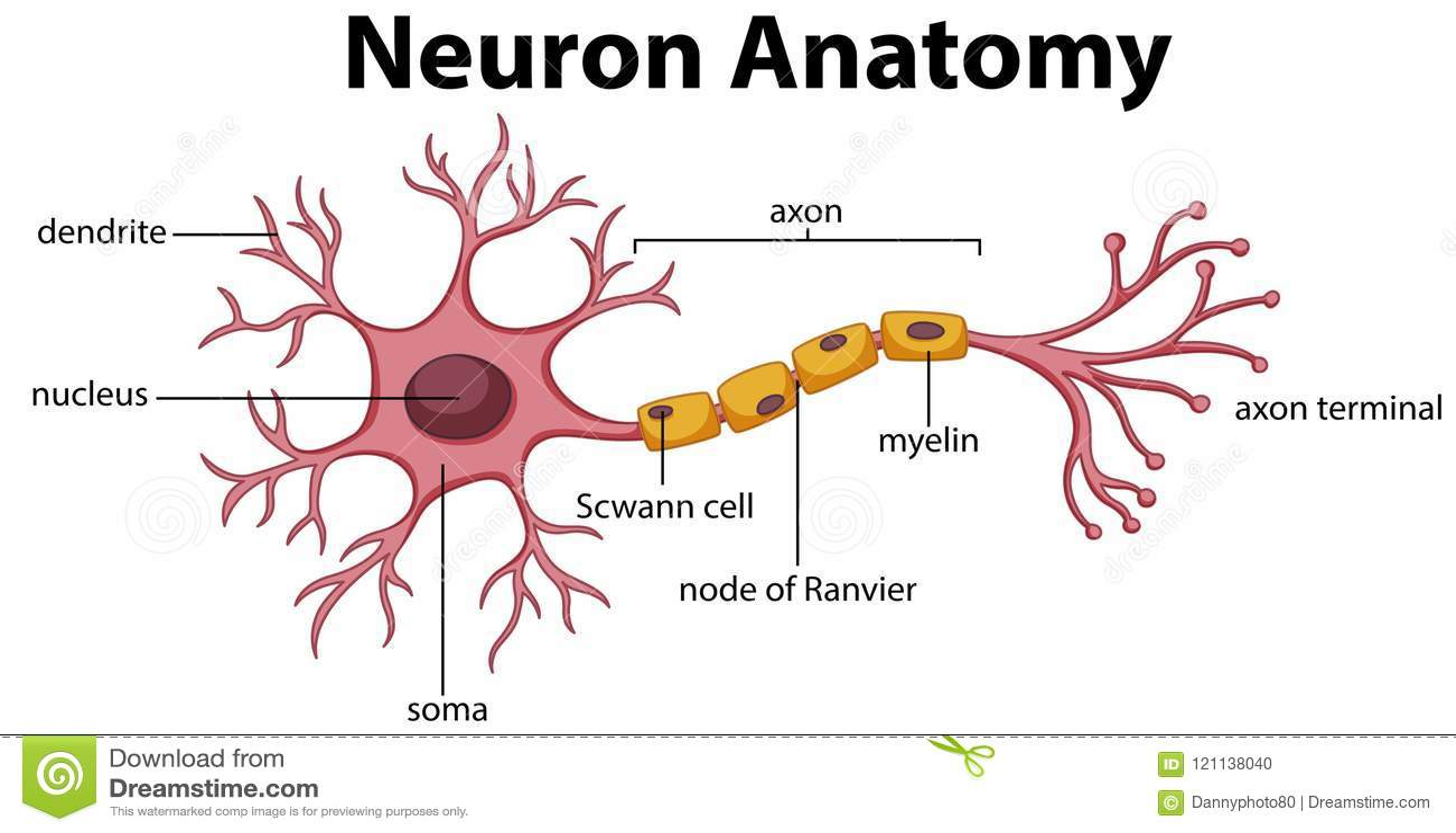 Diagram neuron anatomia