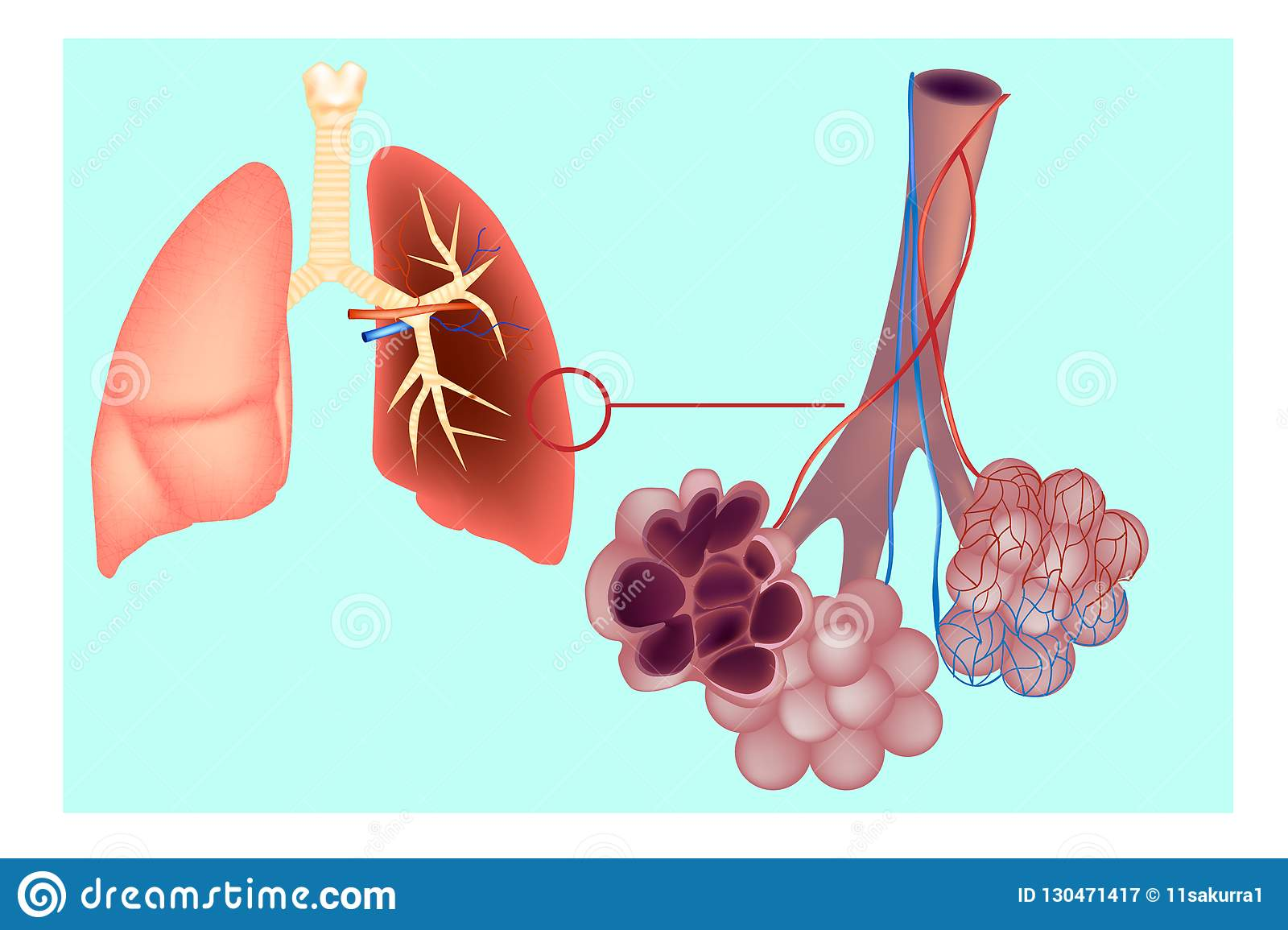 Diagram The Pulmonary Alveolus Air Sacs In The Lung Stock Vector