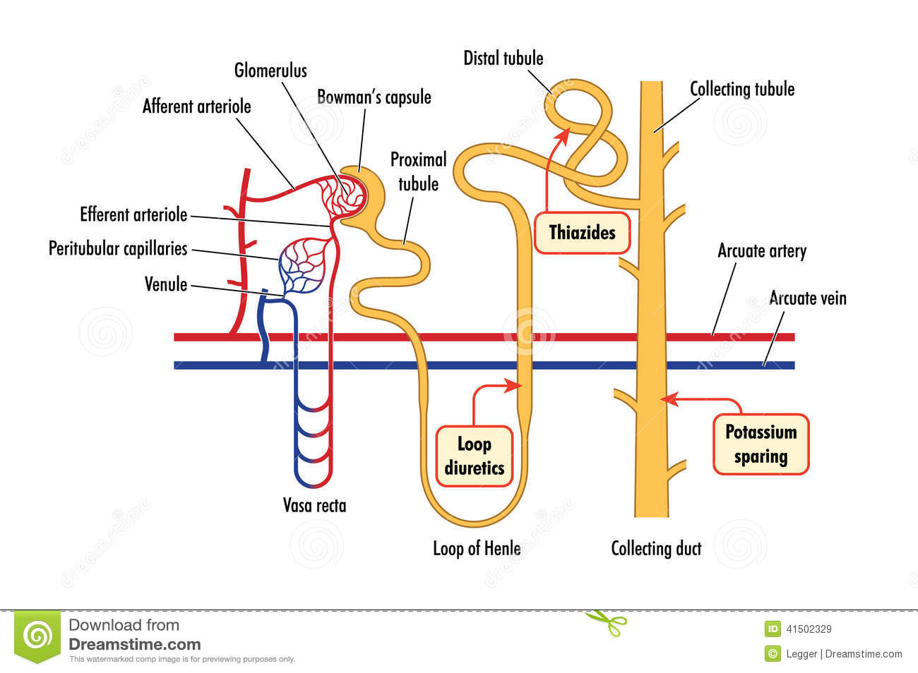 nephron diagram from a textbook  nephron  get free image