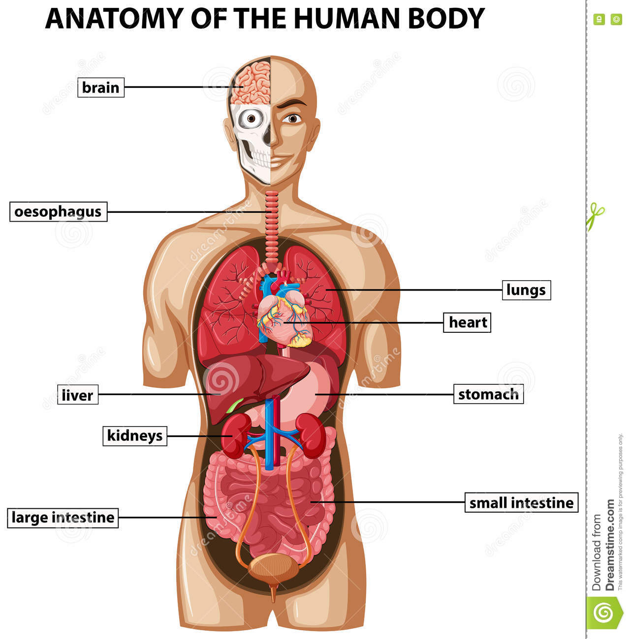 Diagram Showing Anatomy Of Human Body With Names Stock Vector