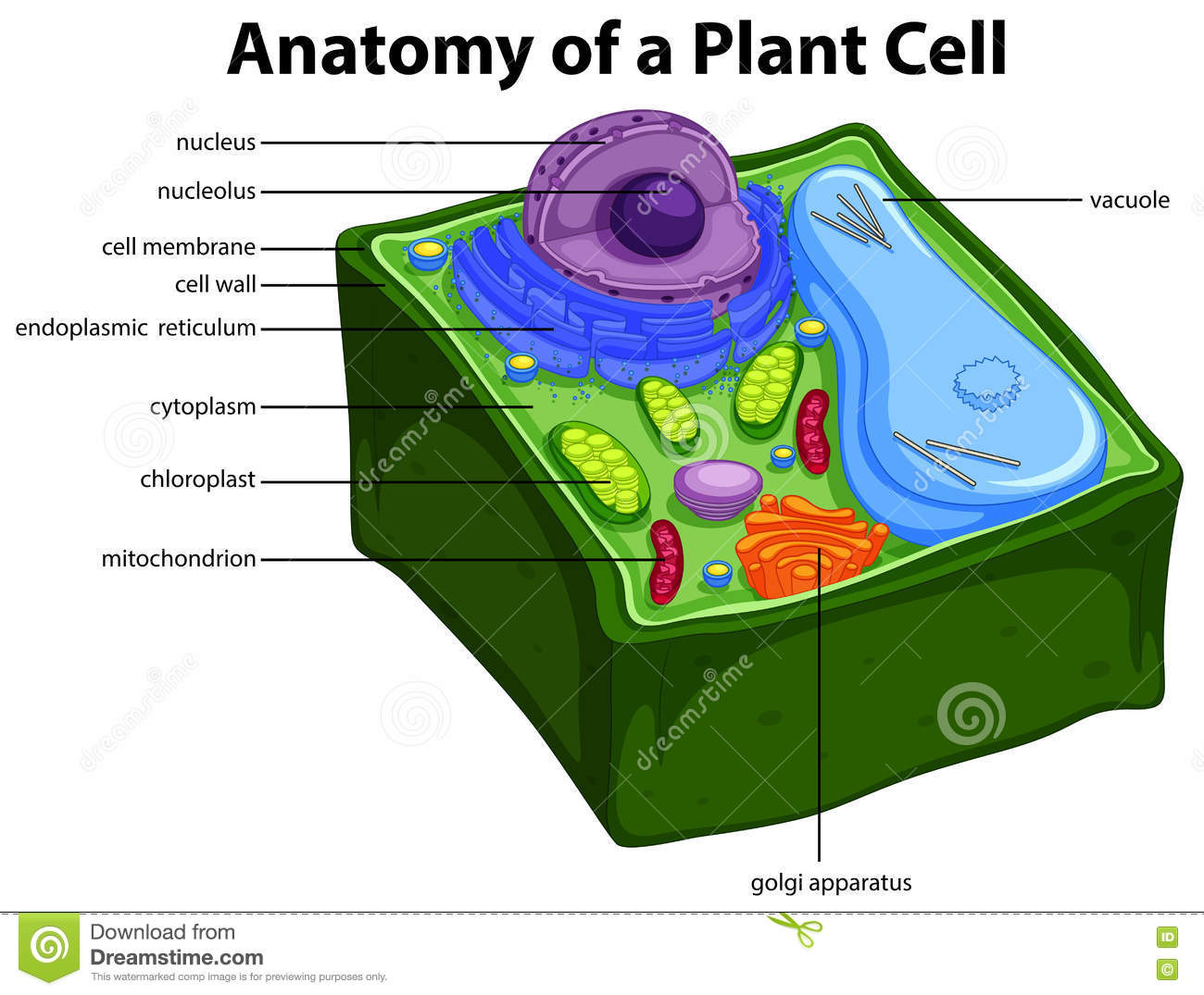 Diagram Showing Anatomy Of Plant Cell Stock Vector - Illustration of ...
