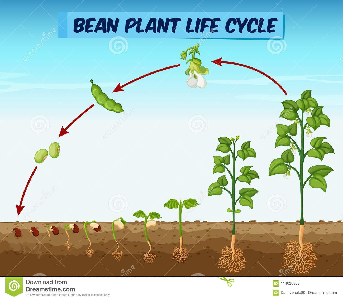 diagram showing bean plant life cycle stock vector illustration of rh dreamstime com labelled diagram of bean plant diagram of a green bean plant