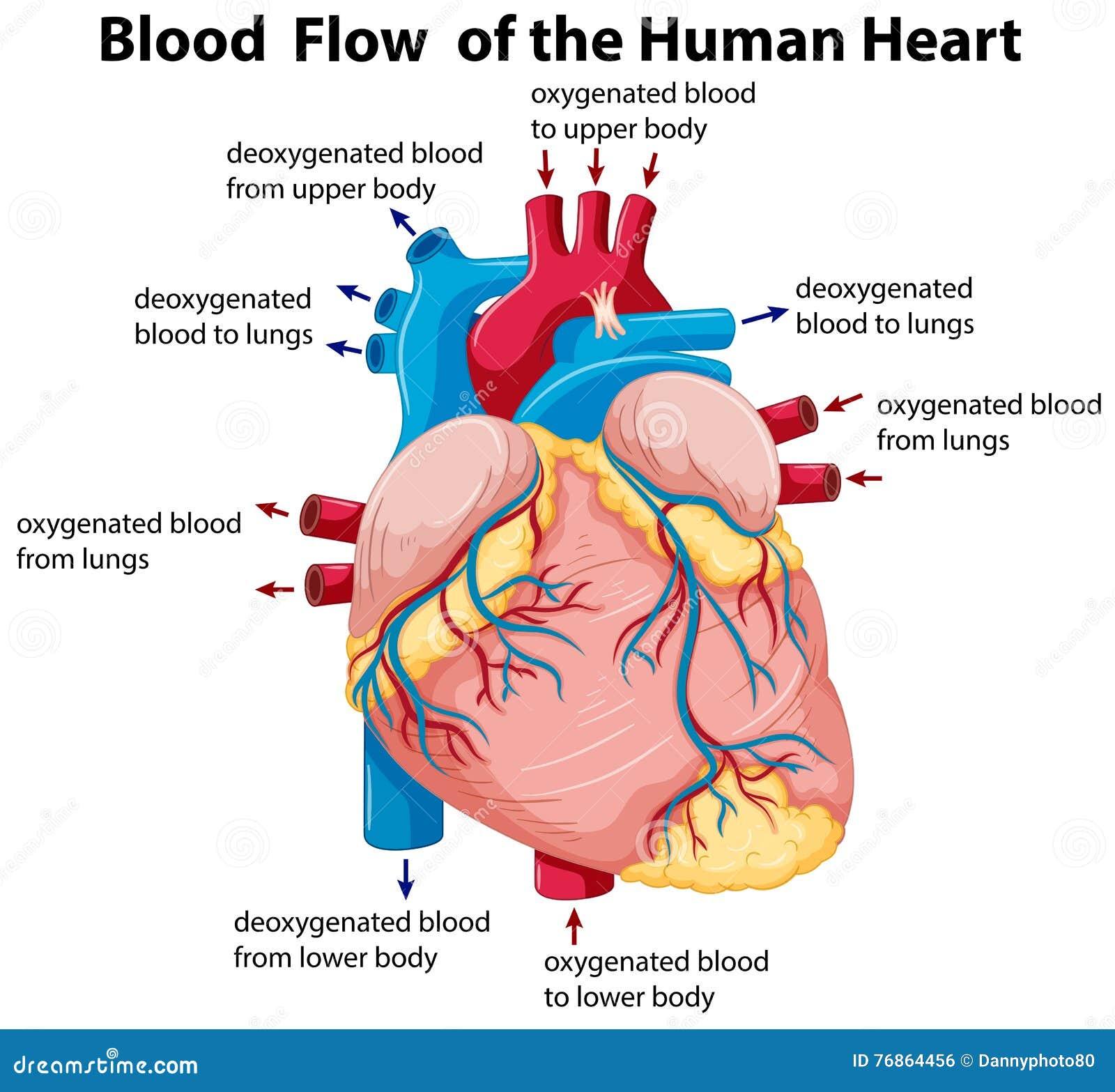 Diagram showing blood flow in human heart