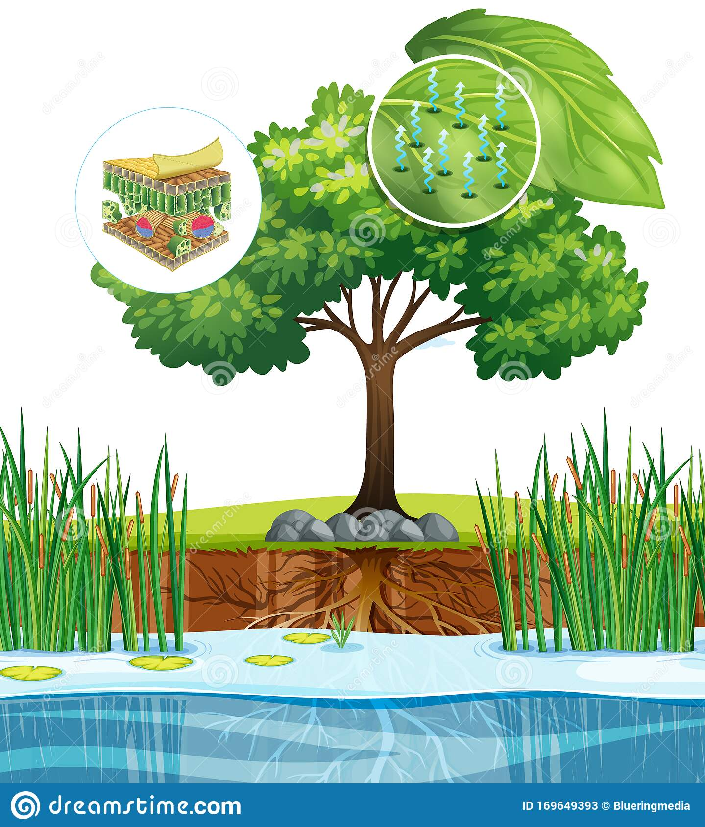 Diagram Showing Close Up Plant Cell From A Tree Stock Vector