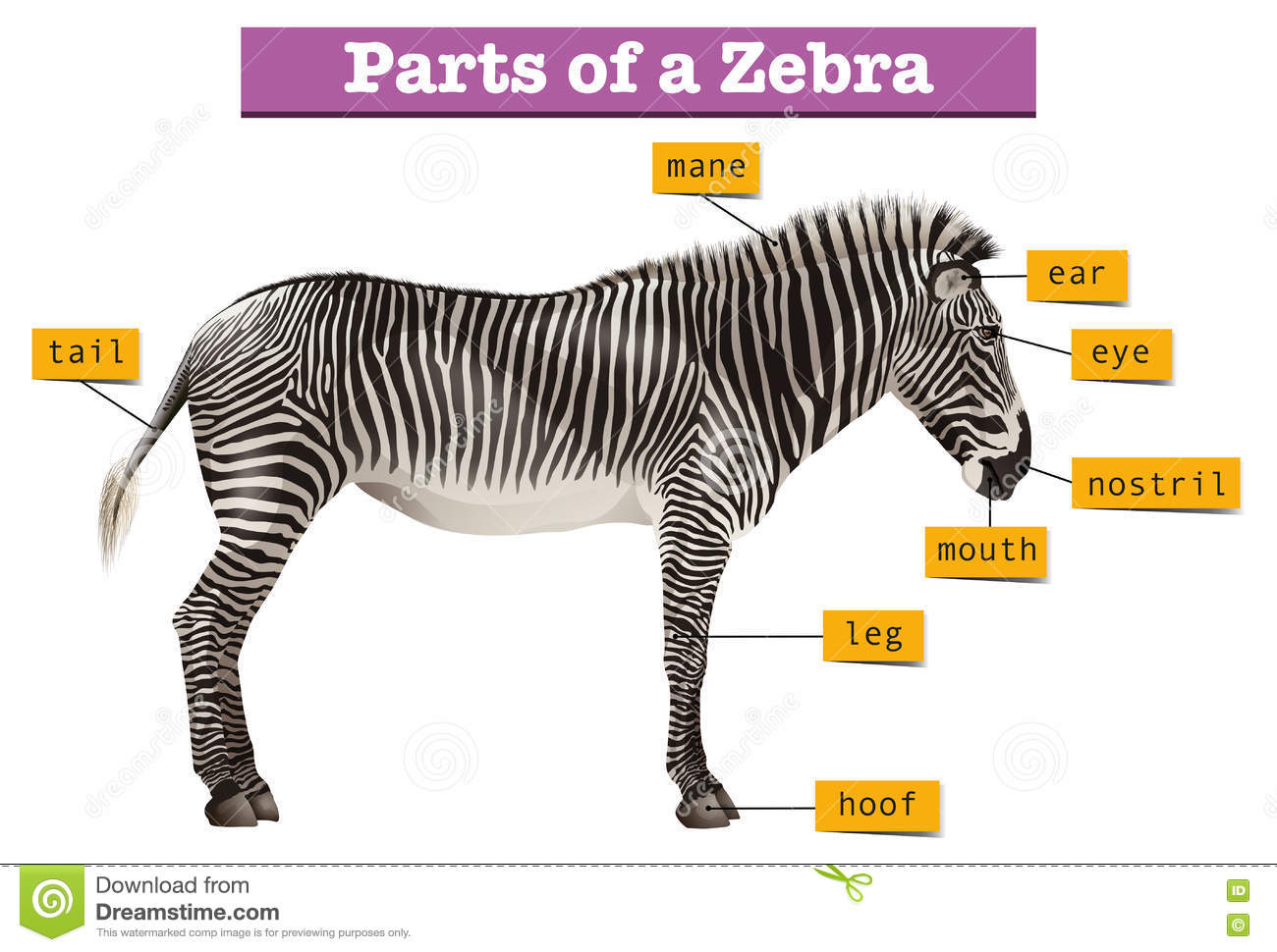 Diagram Showing Different Parts Of Zebra Stock Vector