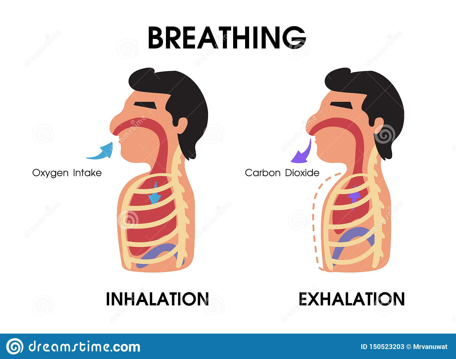 Diaphram Diagram With Lung Inhalation And Exhalation