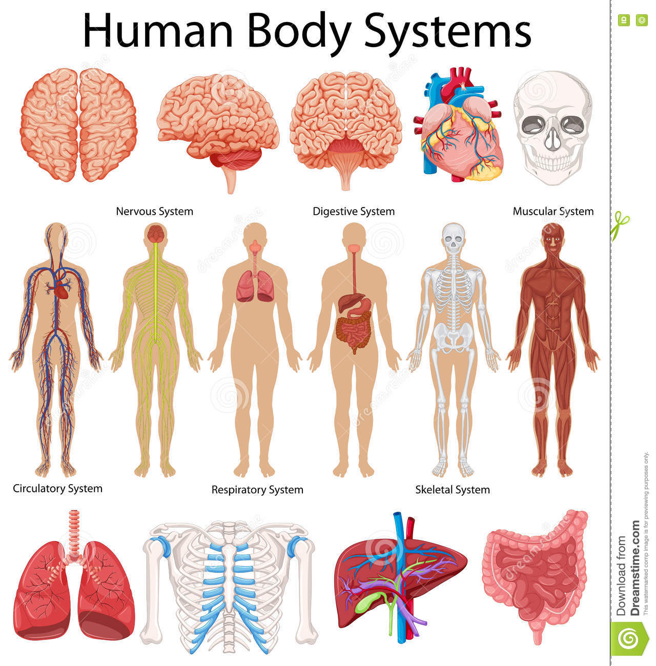 Diagram Showing Human Body Systems Stock Vector Illustration Of