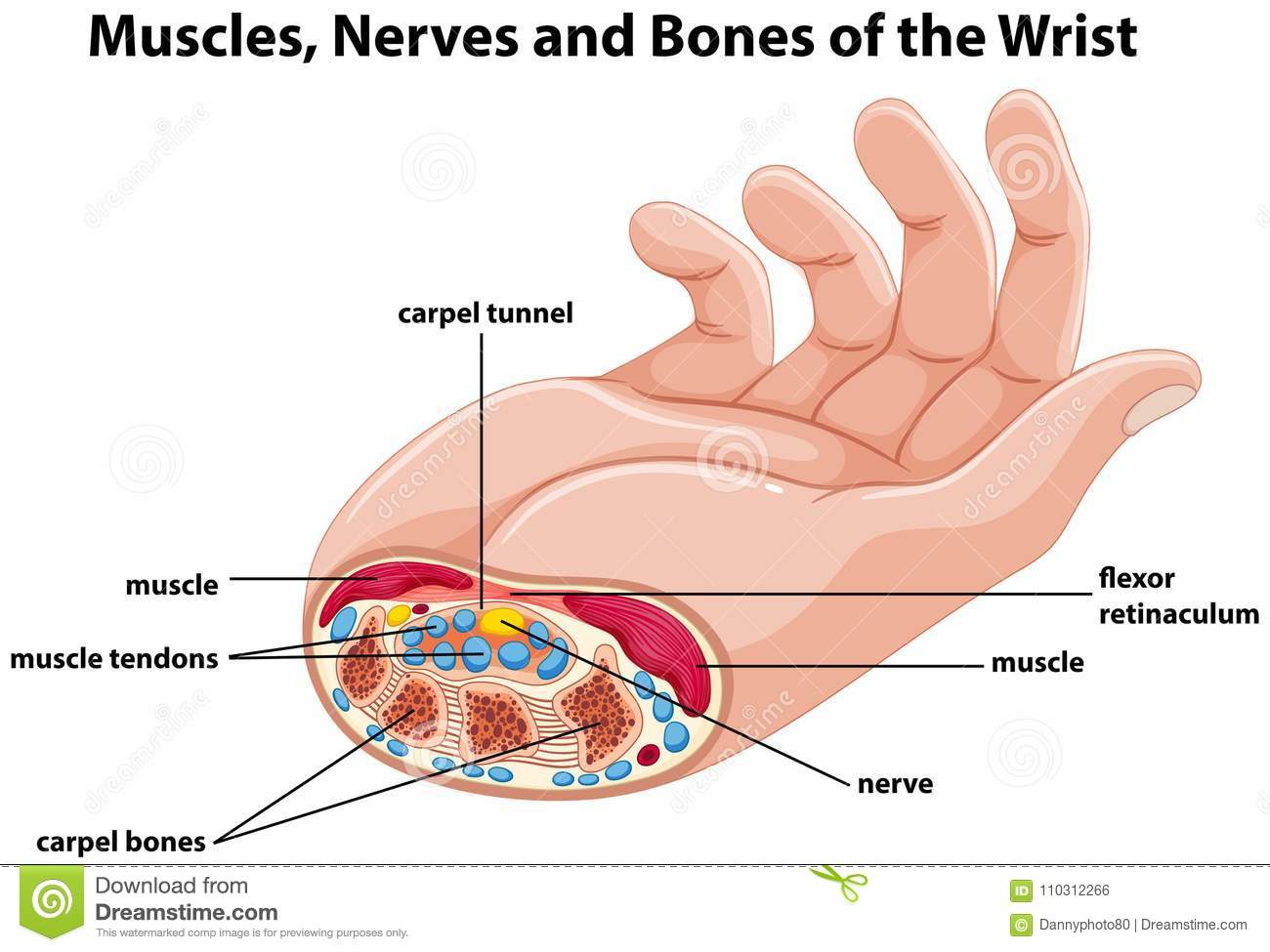 Diagram Showing Human Hand With Muscles And Nerves Stock Vector Finger