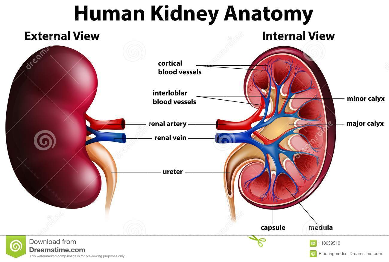 Diagram Showing Human Kidney Anatomy Stock Vector Illustration Of