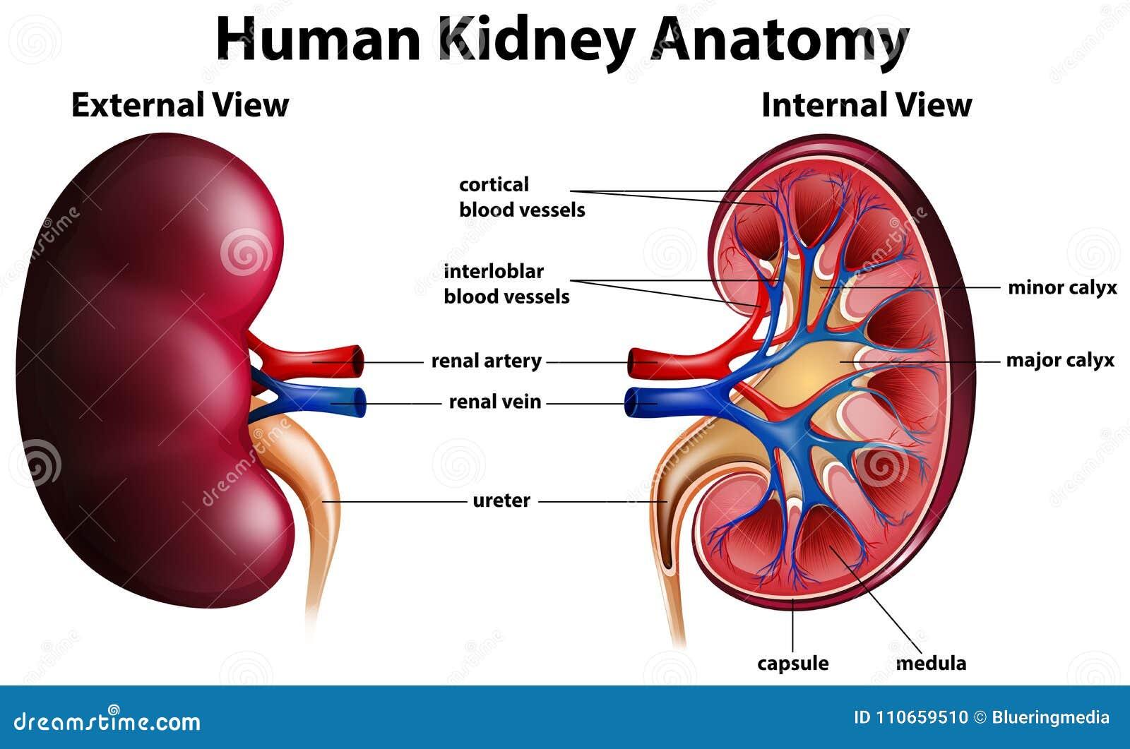 Diagram Showing Human Kidney Anatomy Stock Vector - Illustration of ...