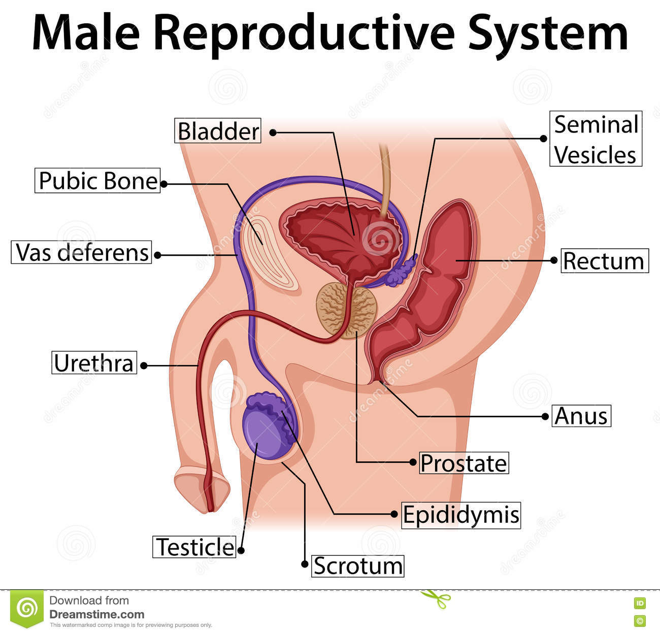 Diagram Showing Male Reproductive System Stock Vector Illustration
