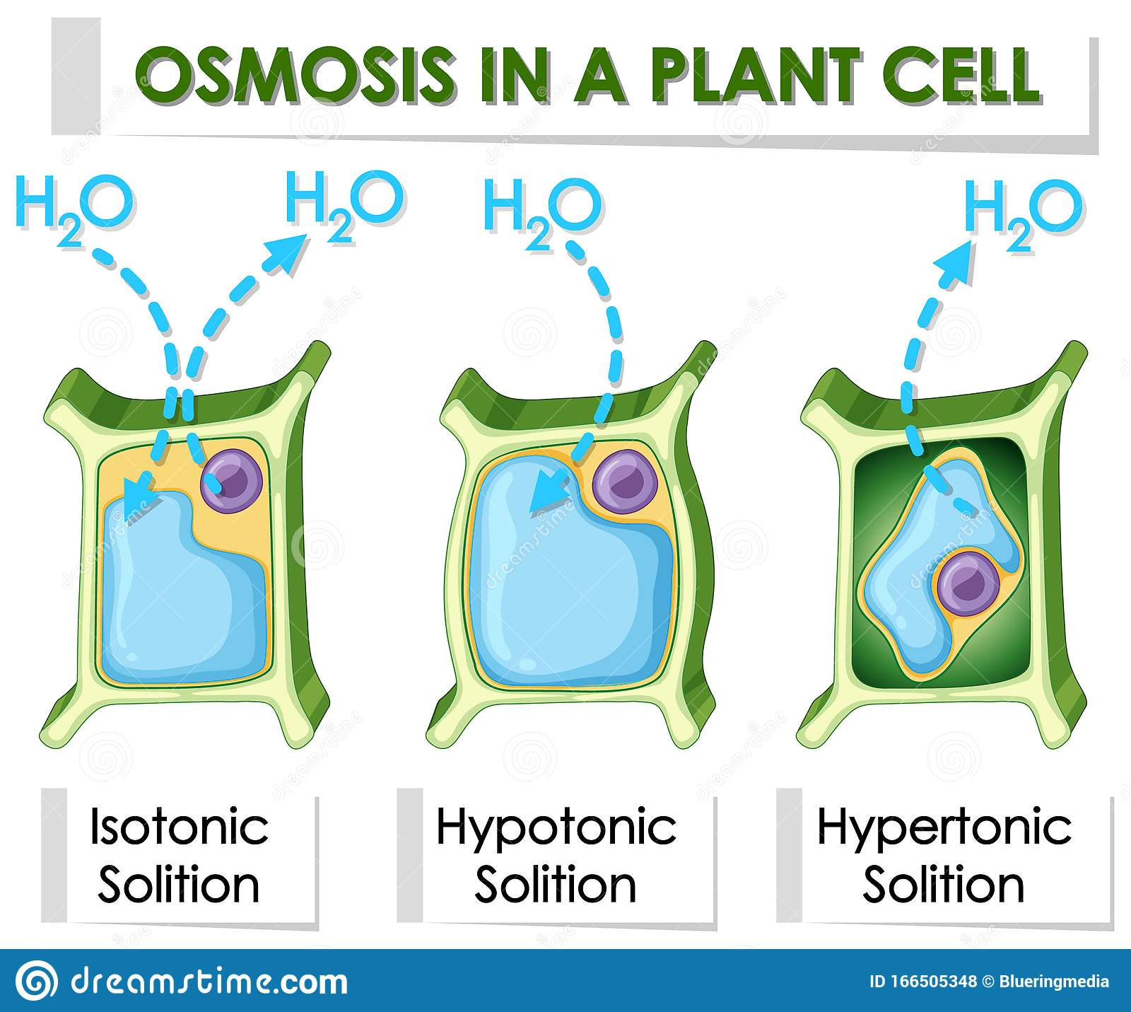 Diagram Showing Osmosis In Plant Cell Stock Vector ...