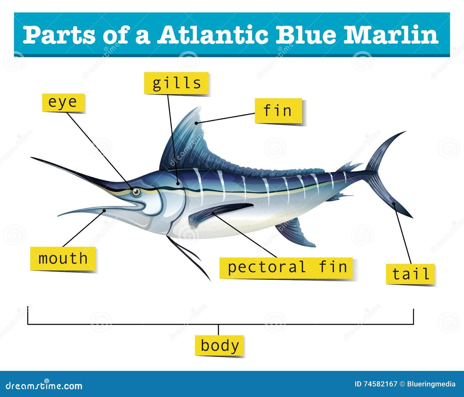 Diagram Showing Parts Of Atlantic Blue Marlin Stock Vector