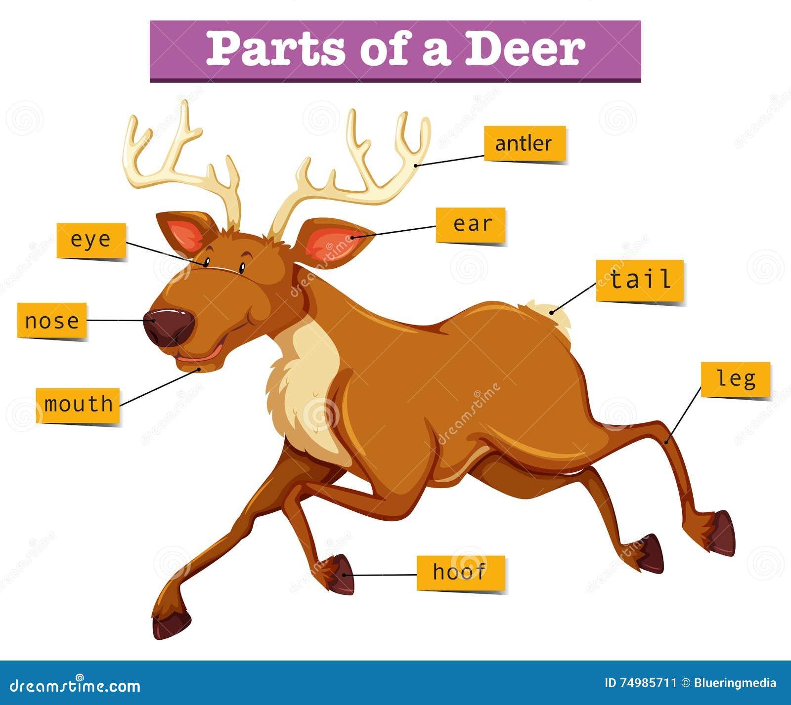 diagram showing parts deer illustration 74985711 diagram showing parts of deer stock vector illustration of