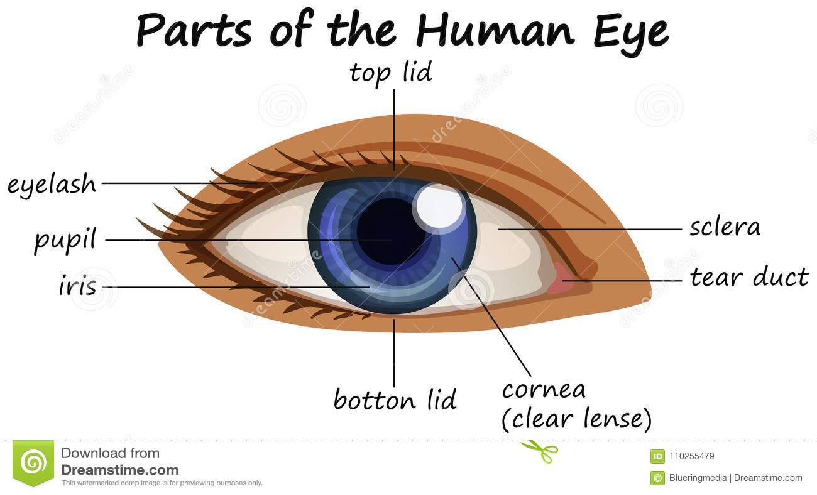 Diagram Showing Parts Of Human Eye Stock Vector ...