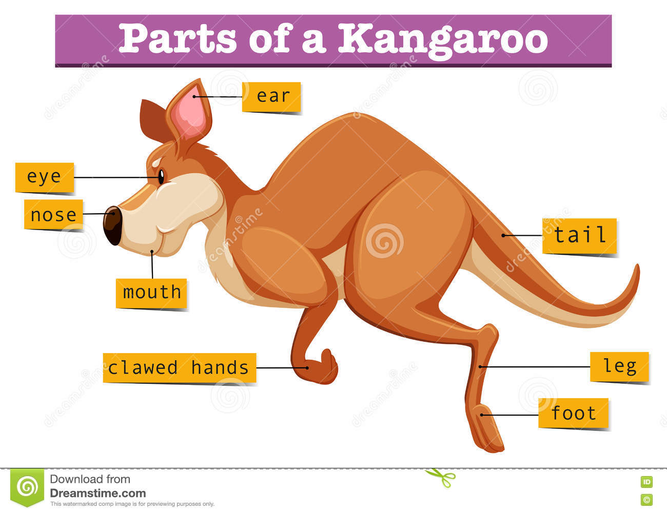 Diagram Showing Parts Of Kangaroo Stock Vector