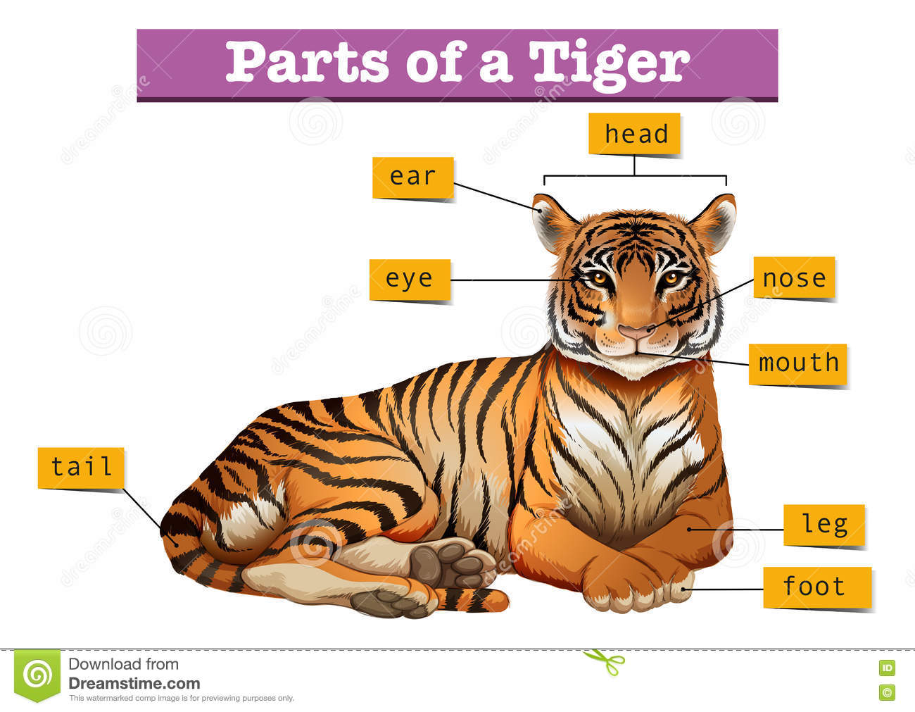 Diagram Showing Parts Of Tiger Stock Vector Image 74985584