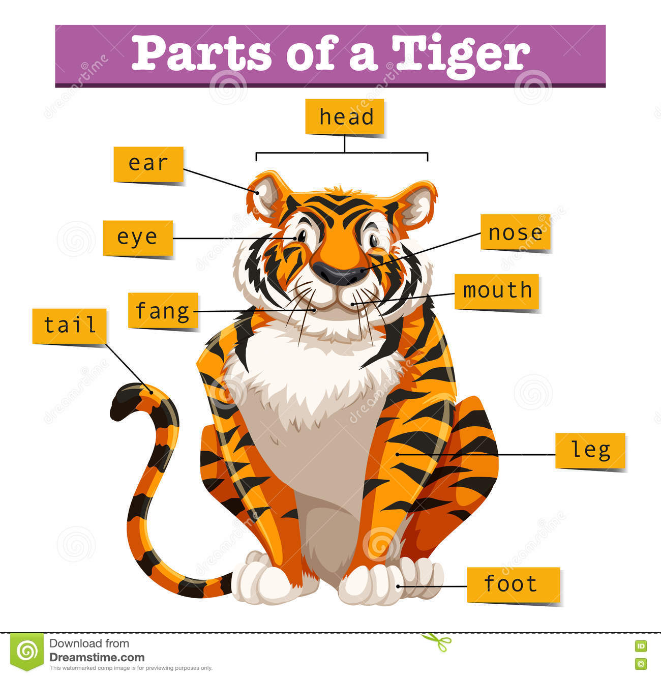 Diagram Showing Parts Of Tiger Stock Vector - Image: 75149899