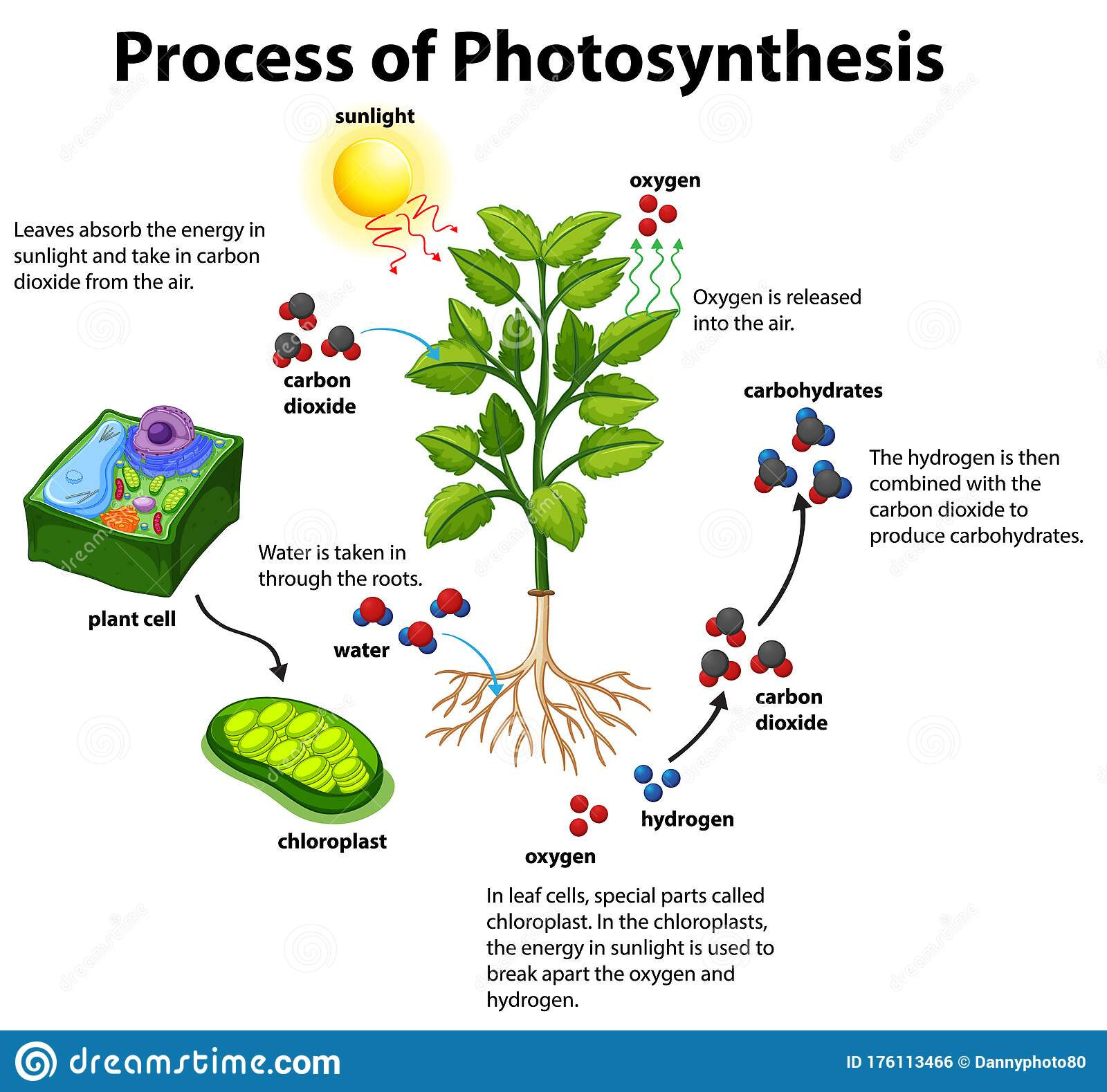 Diagram Showing Process Of Photosynthesis With Plant And ...