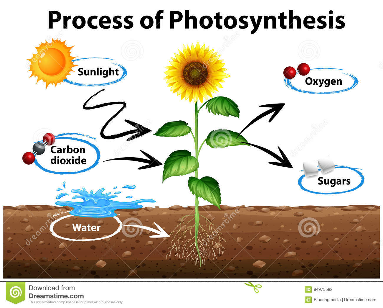 diagram showing sunflower and process of photosynthesis stock vector rh dreamstime com
