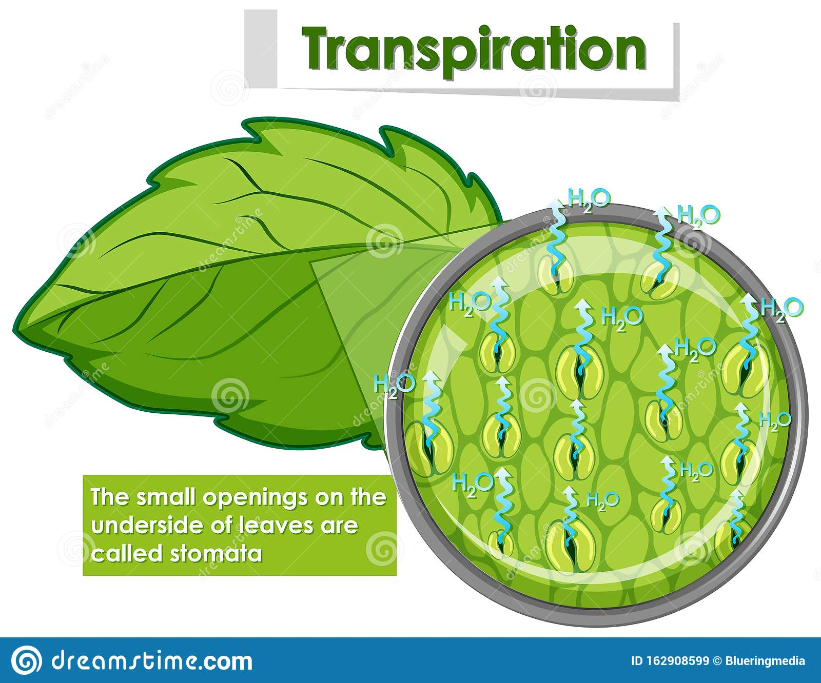 Diagram Showing Transpiration In Plant Stock Vector ...