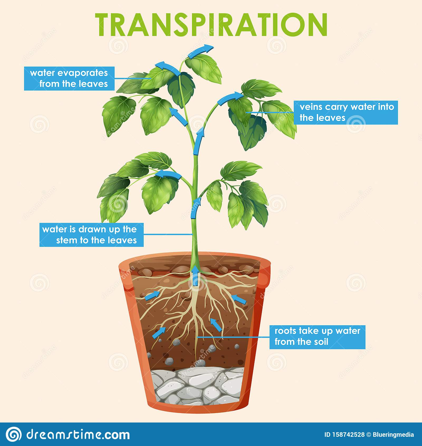 Diagram Showing Transpiration Of Plant Stock Vector ...