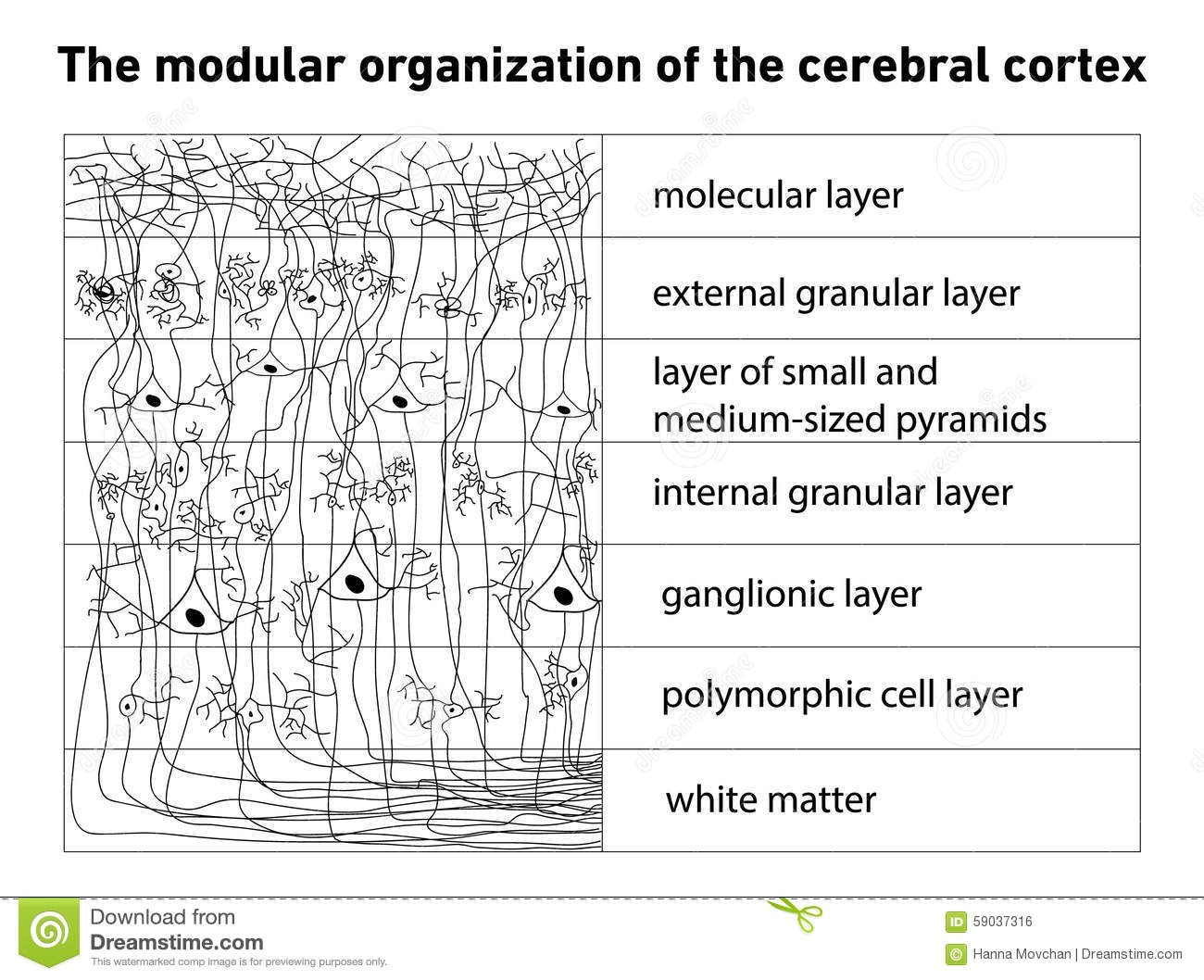 The Unbelievable Structure & Function of Brain Parts in Humans |Cerebral Cortex Structure