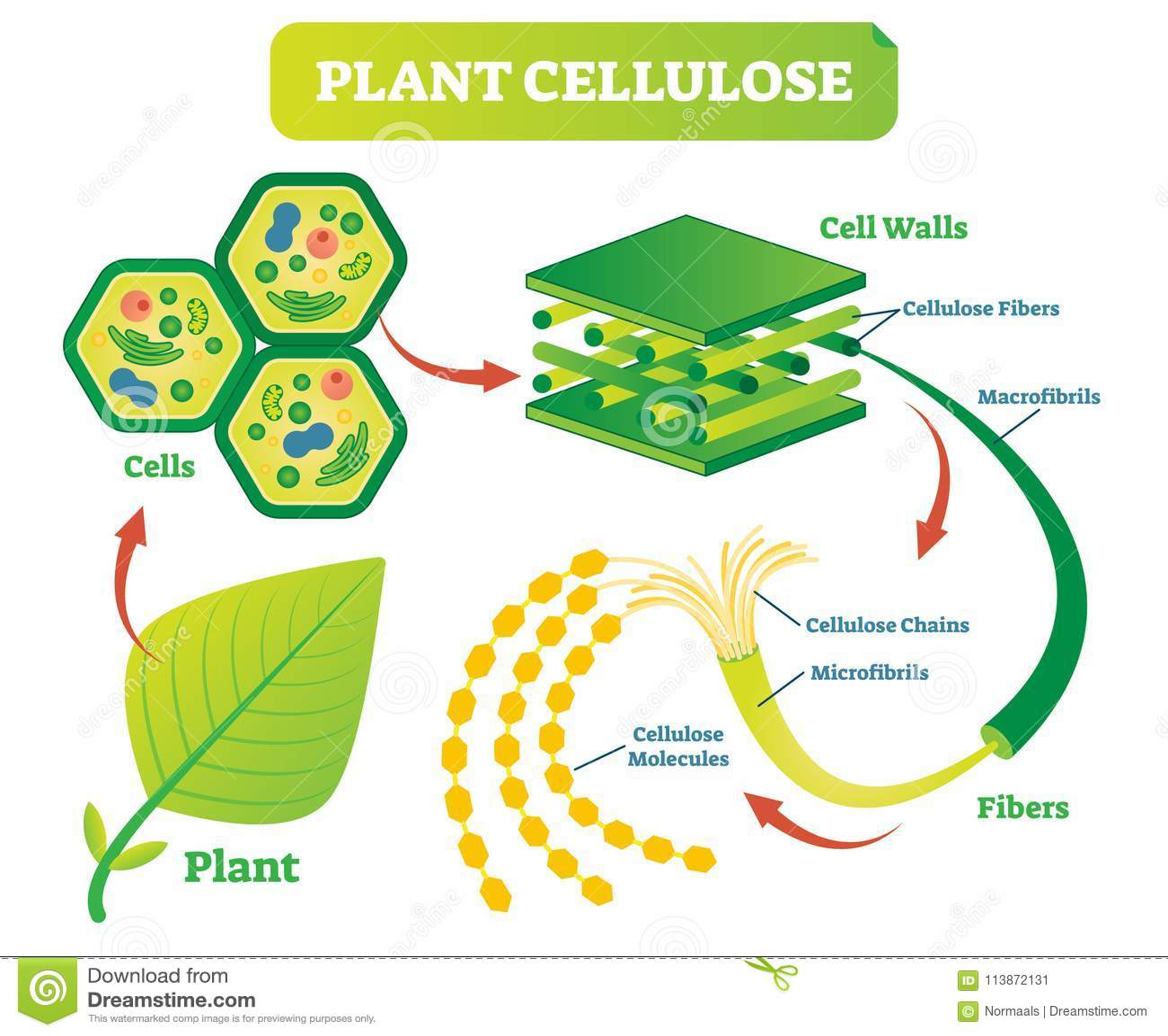 Diagram van de de biologie het vectorillustratie van de installatiecellulose