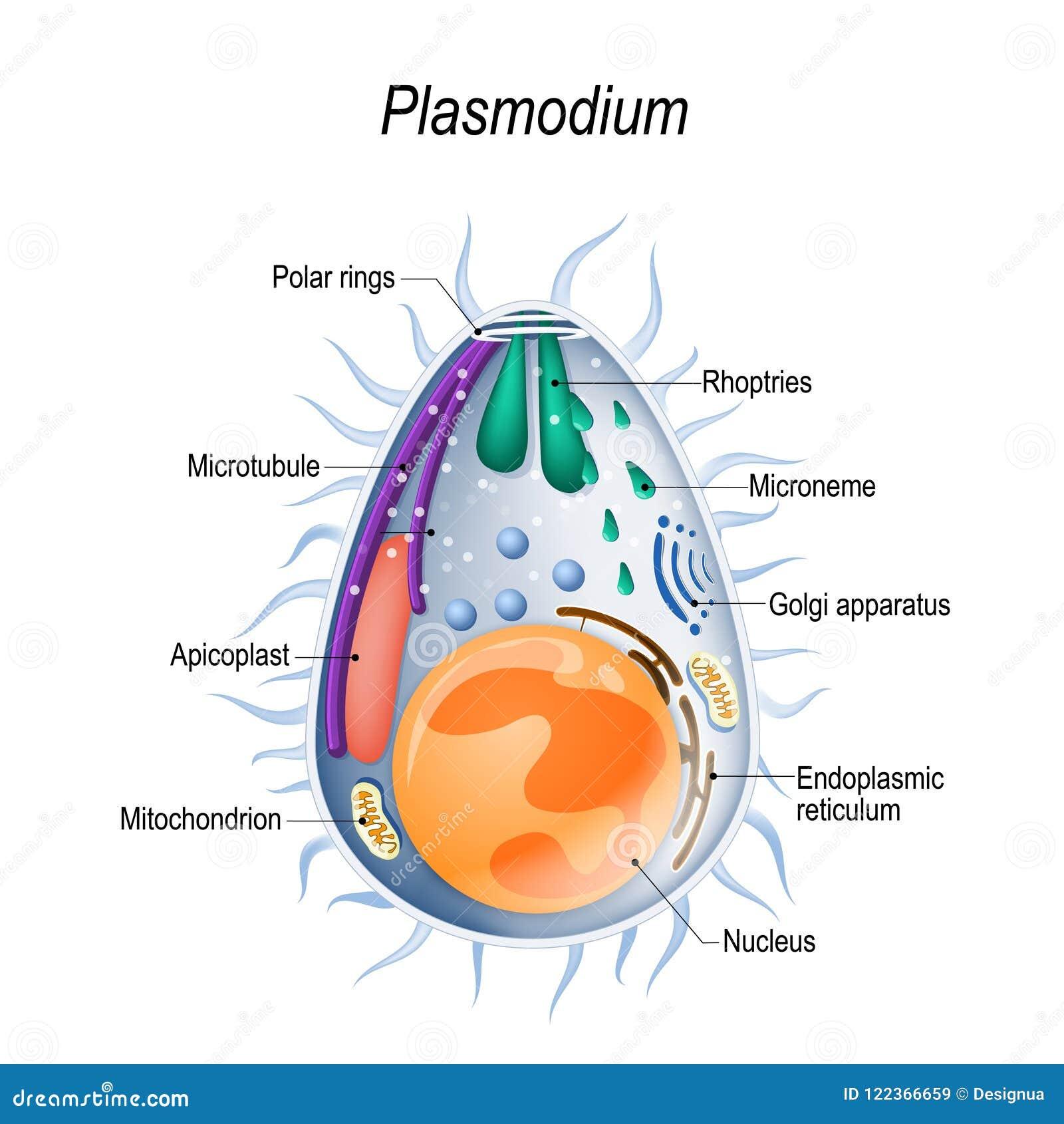 Diagram van de structuur van Plasmodium merozoites