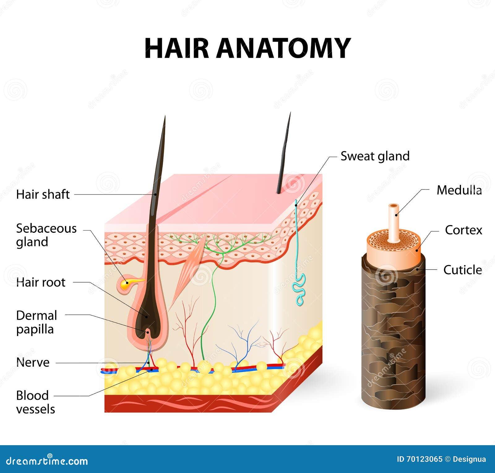 Diagram Van Een Haarfollikel In Een Dwarsdoorsnede Van