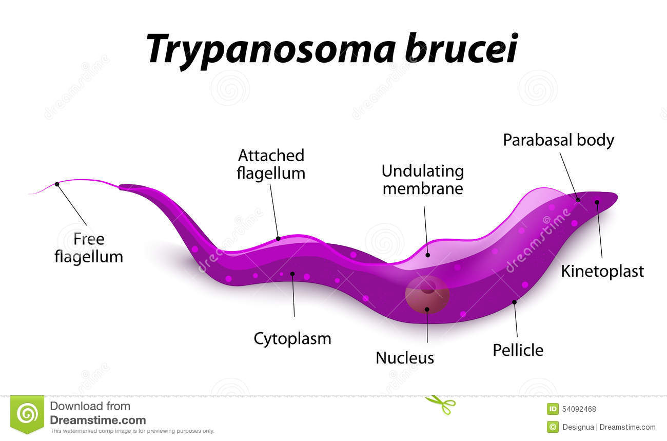 Diagram van Trypanosoma-Cel