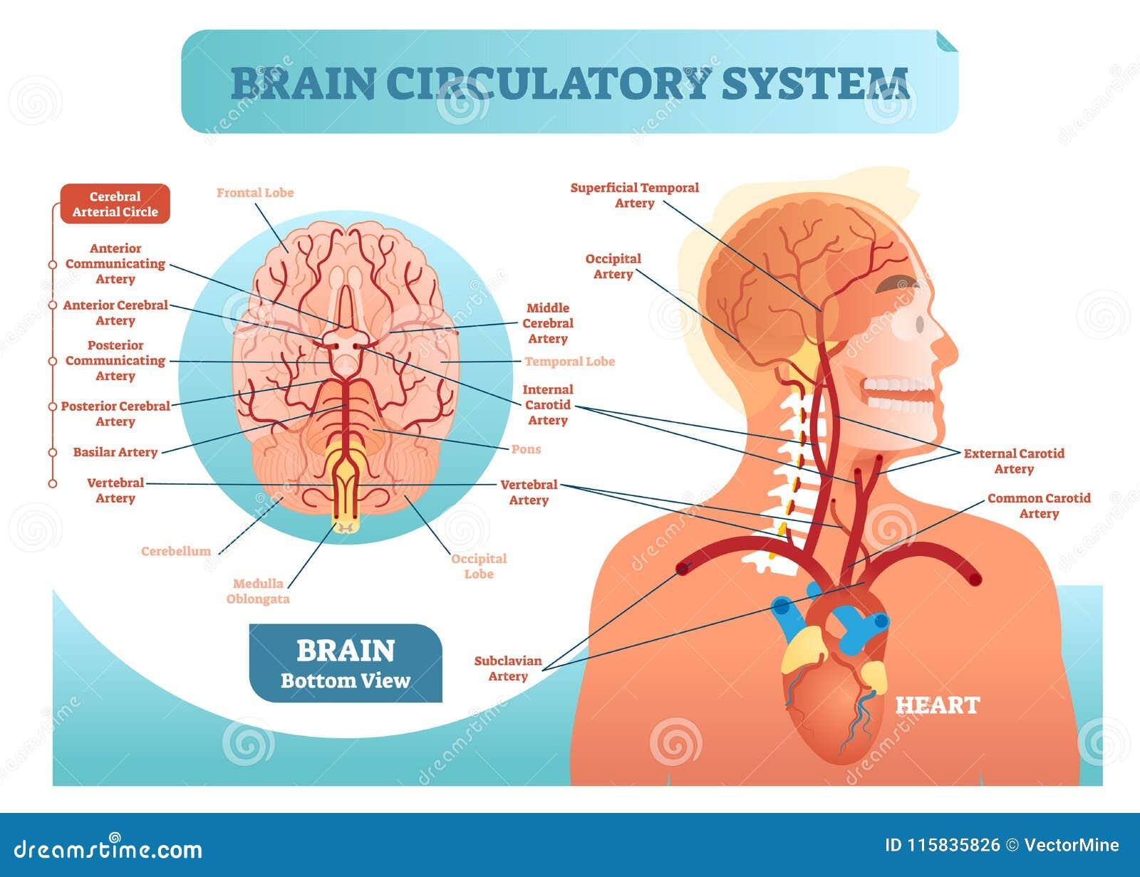 Diagrama Anatómico Del Ejemplo Del Vector Del Sistema Circulatorio ...