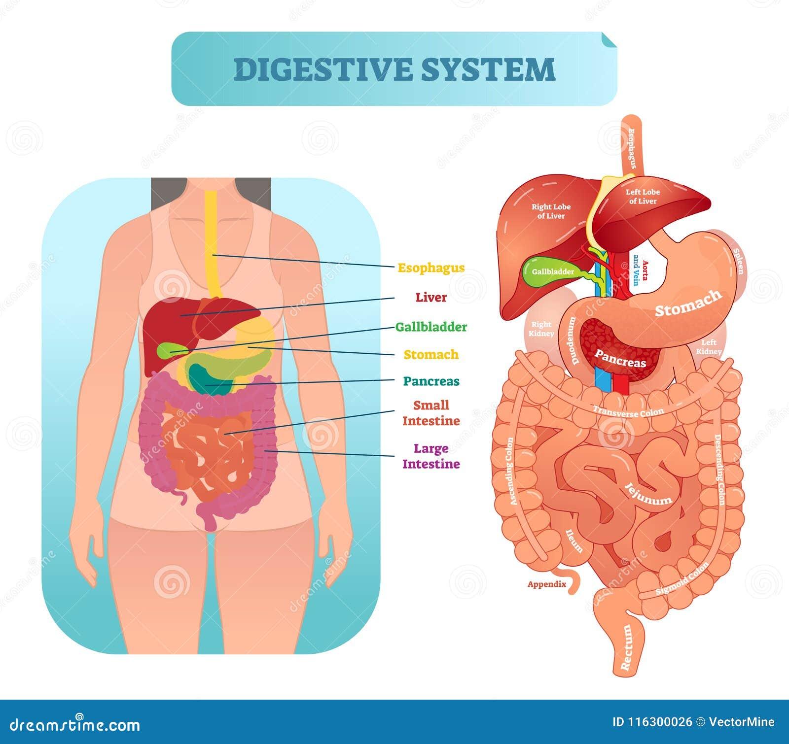Asombroso Sistema Digestivo Etiquetado Hoja De Trabajo Imagen ...