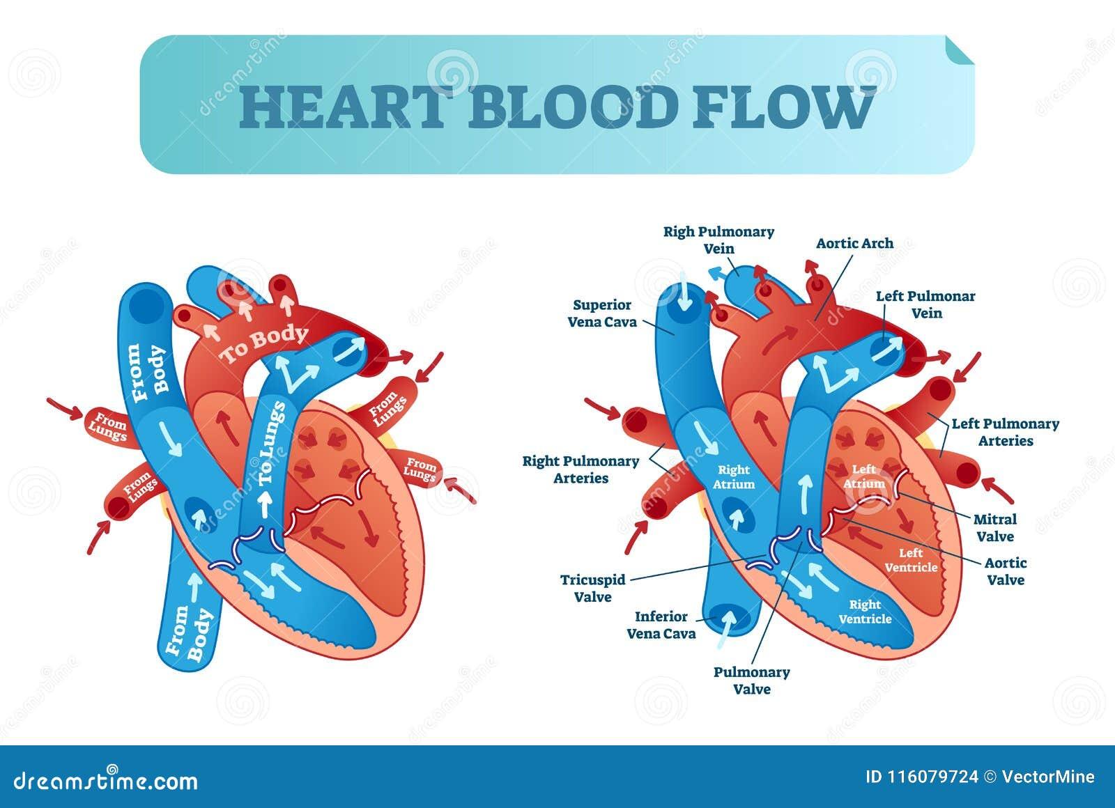 Diagrama anatômico da circulação da circulação sanguínea do coração com sistema do vestíbulo e do ventrículo Cartaz médico etique