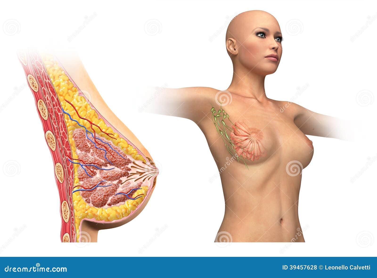 Diagrama Cortado Del Pecho De La Mujer. Stock de ilustración ...