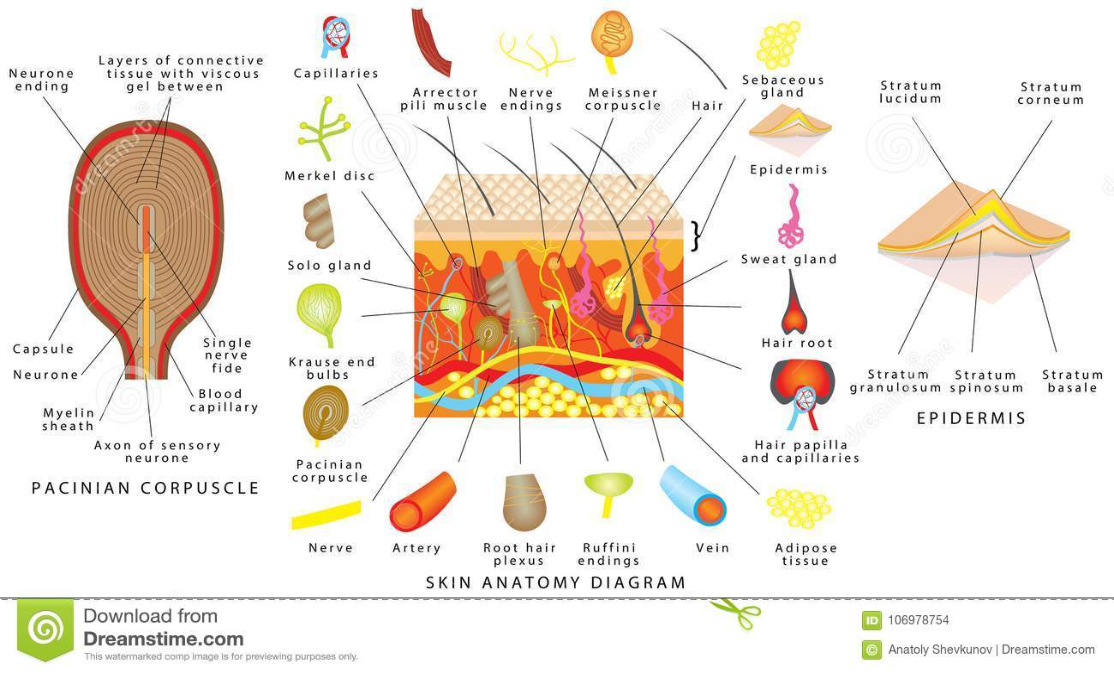 Diagrama da anatomia da pele