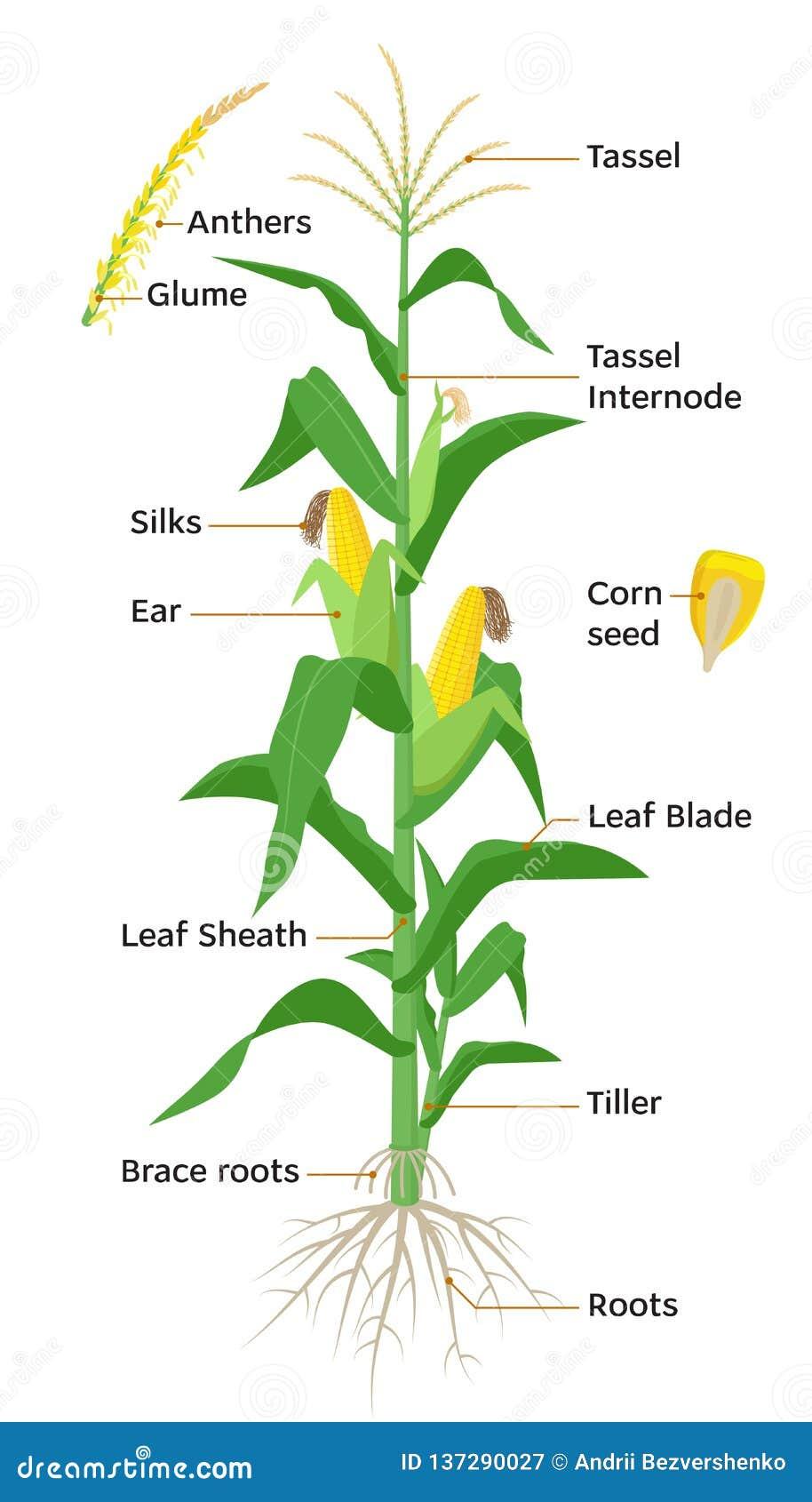 Diagrama da planta de milho, elementos infographic com as partes da planta de milho, anteras, borla, orelhas de milho, espigas, r